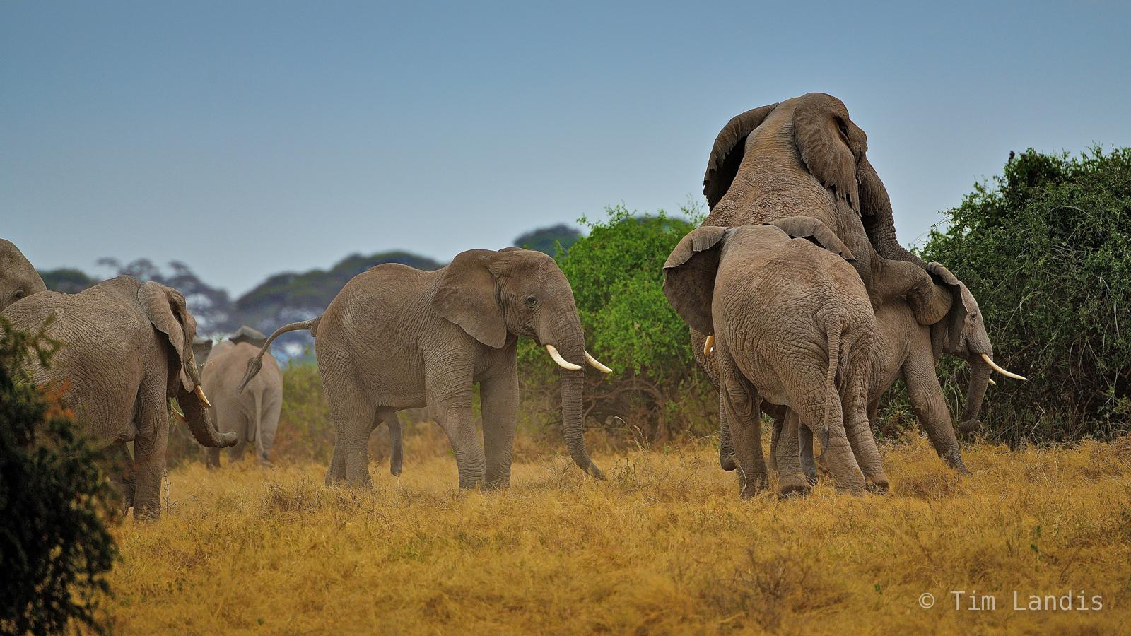 Elephants copulating, elephant love, elephants mating, elephants party, love, photo