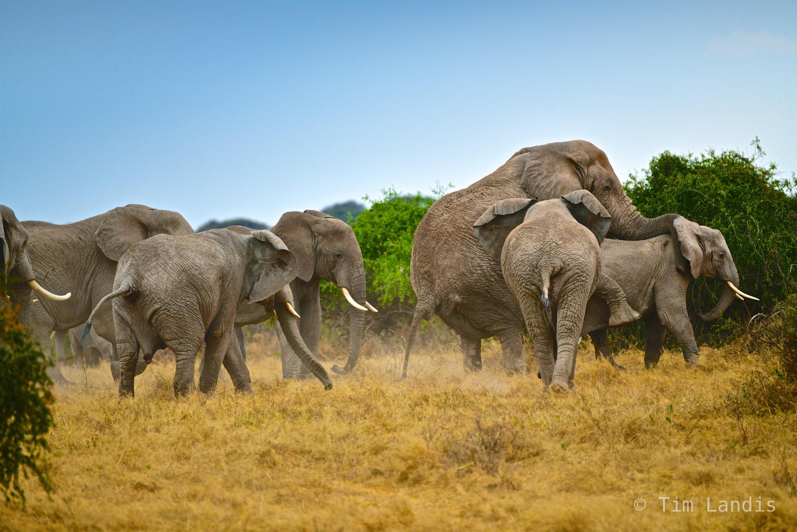 Elephants copulating, dismount, elephant love, elephants mating, elephants party, love, photo