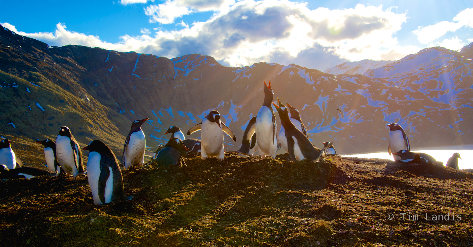Gentoo penguins, penguin concerto, penguins, photo