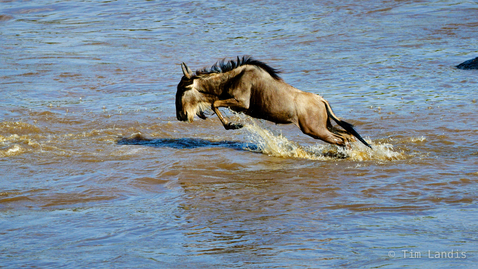 Leaping gnu, leaping wildebeest, photo
