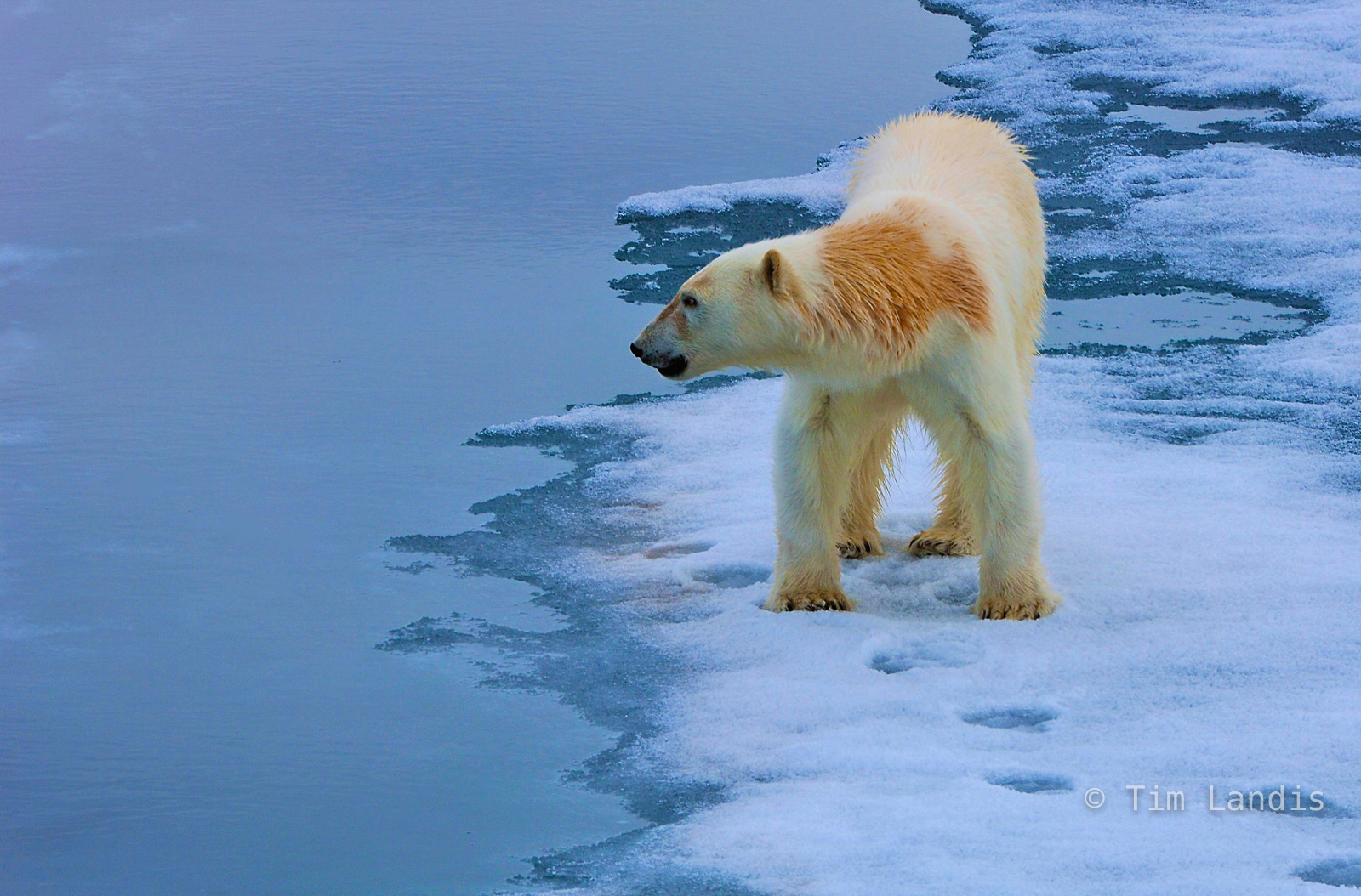 polar bear, polar bear on ice, photo