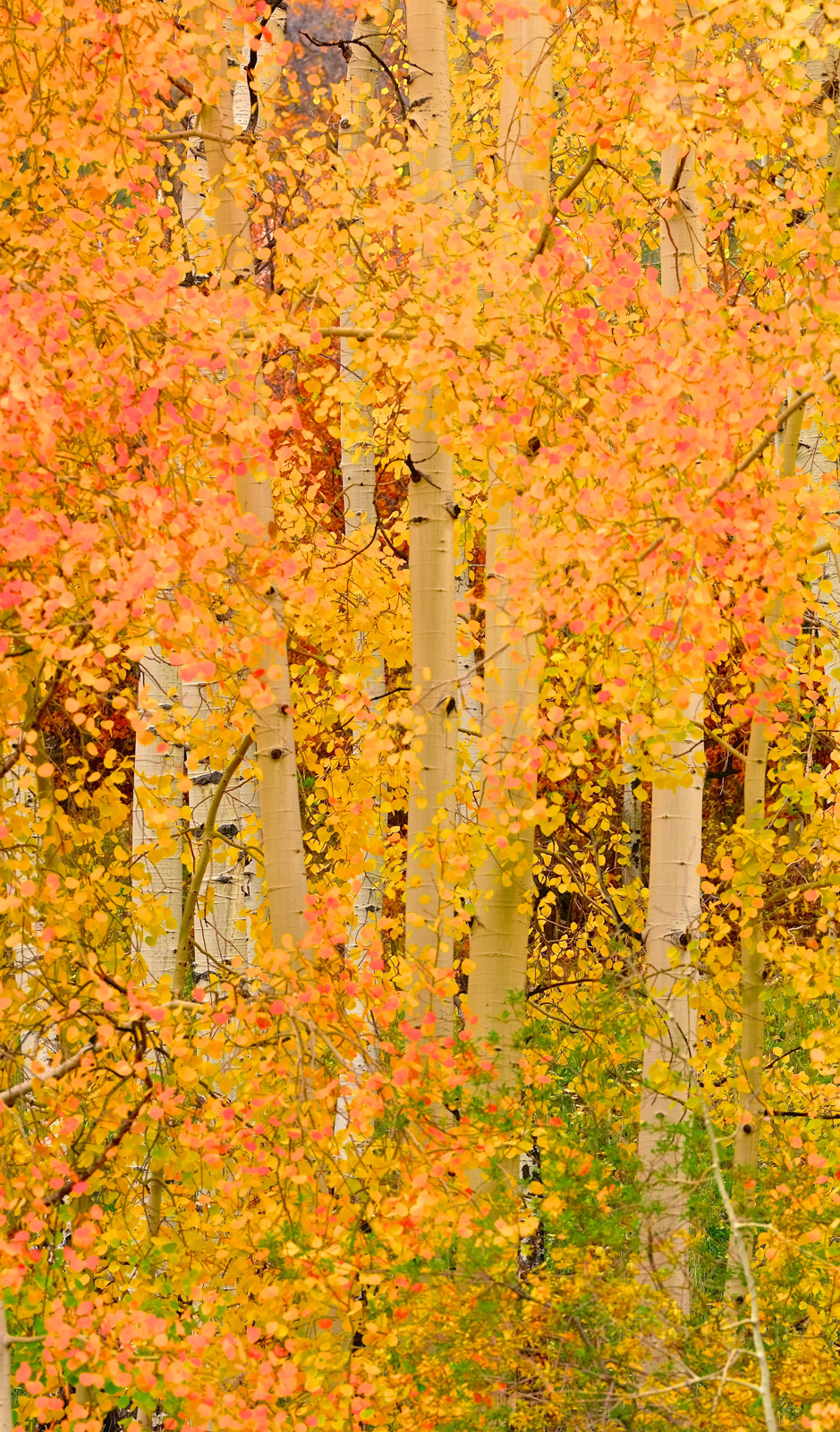 Orange leaves, White trunks, aspens grove prime colors, photo