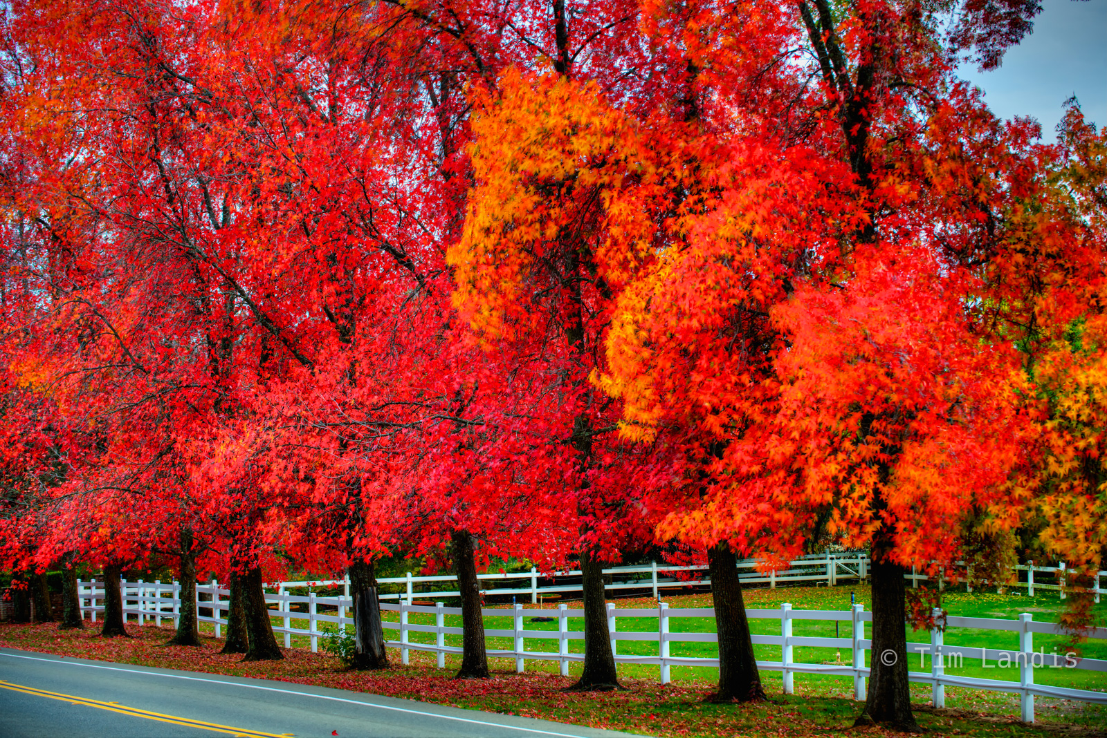 autumn leaves, liquid Amber trees, scarlet reds, photo