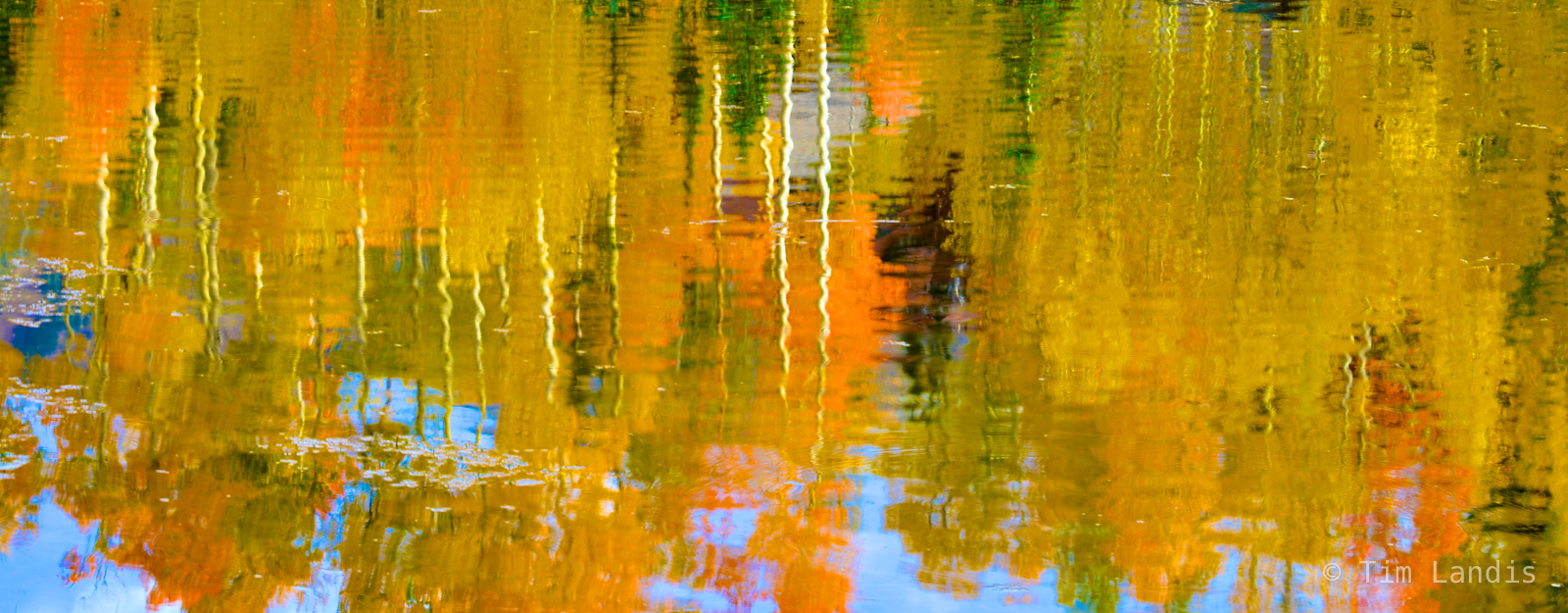 On golden pond, yellow and orange aspens, photo