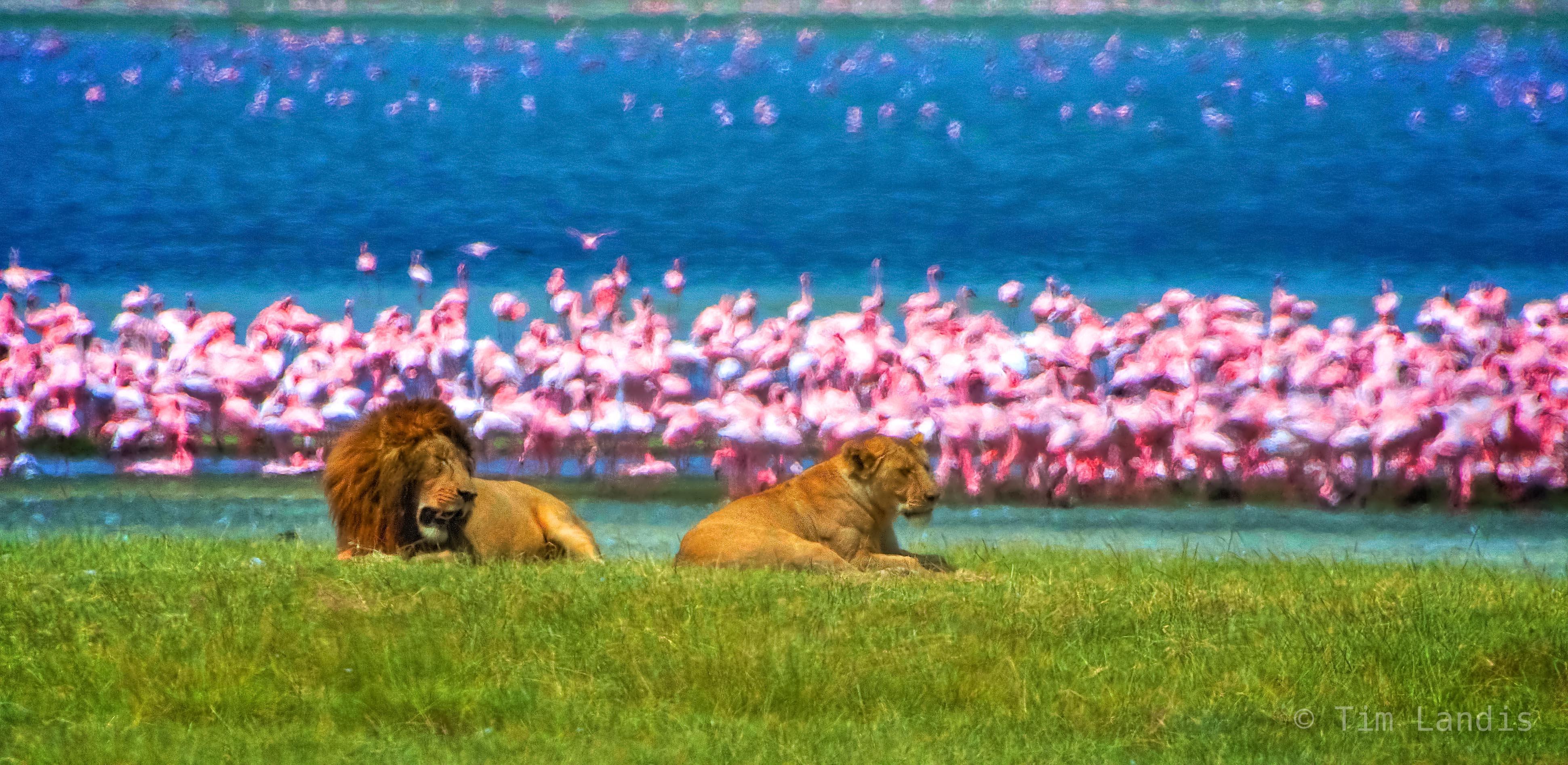 Lions in love, lions before flamingos, nrongrogrongo, salt pan, photo