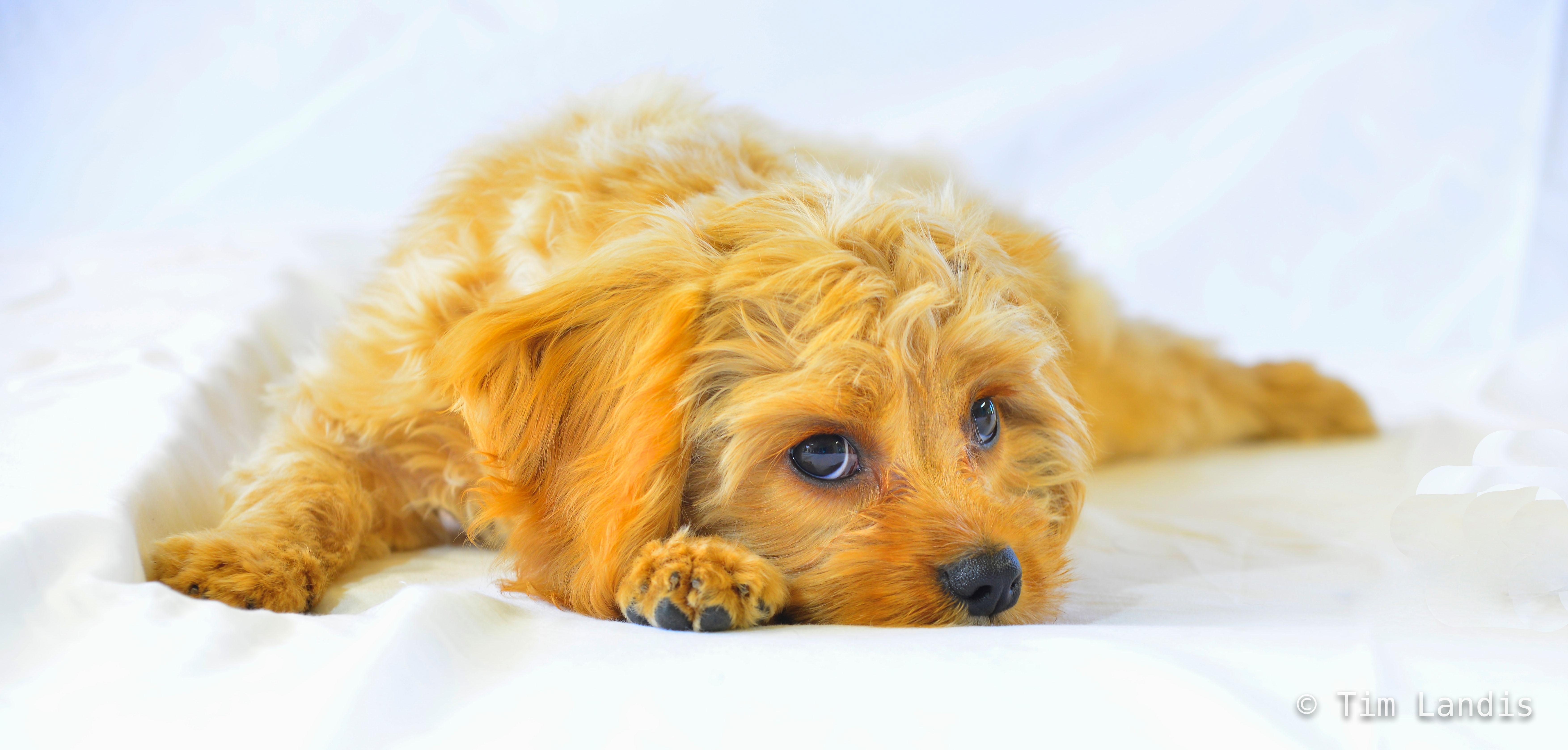 Romeo, cavapoochon, cuddly, eyes, fuzzy, love, nap, puppy, sleepy, warm, photo