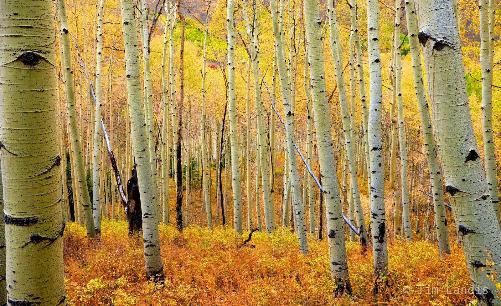 aspen grove, glowing, golden, yellows and gold, photo