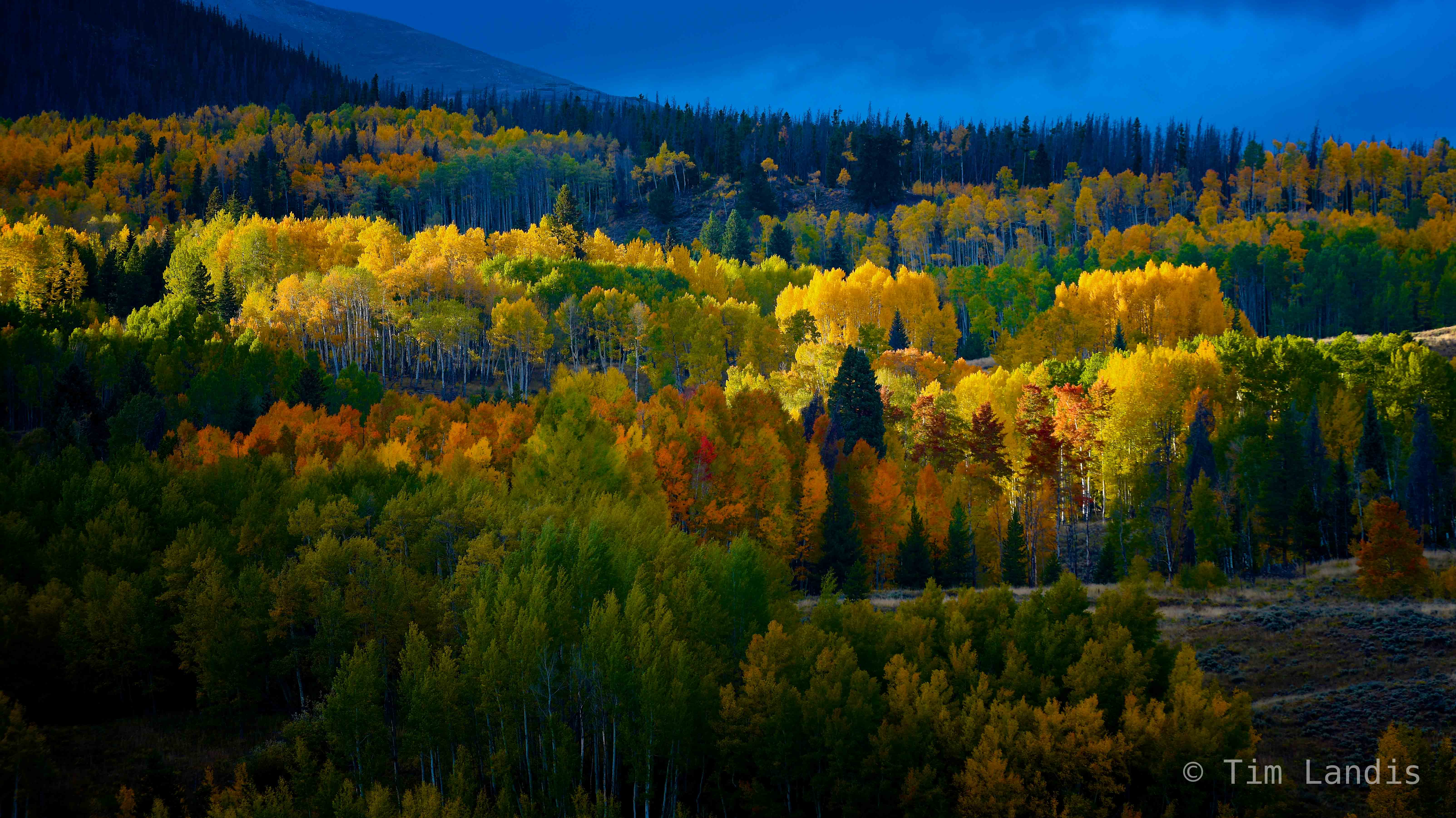 aspens, autumn, autumn leaves, colorado, fall foliage, golden, photo