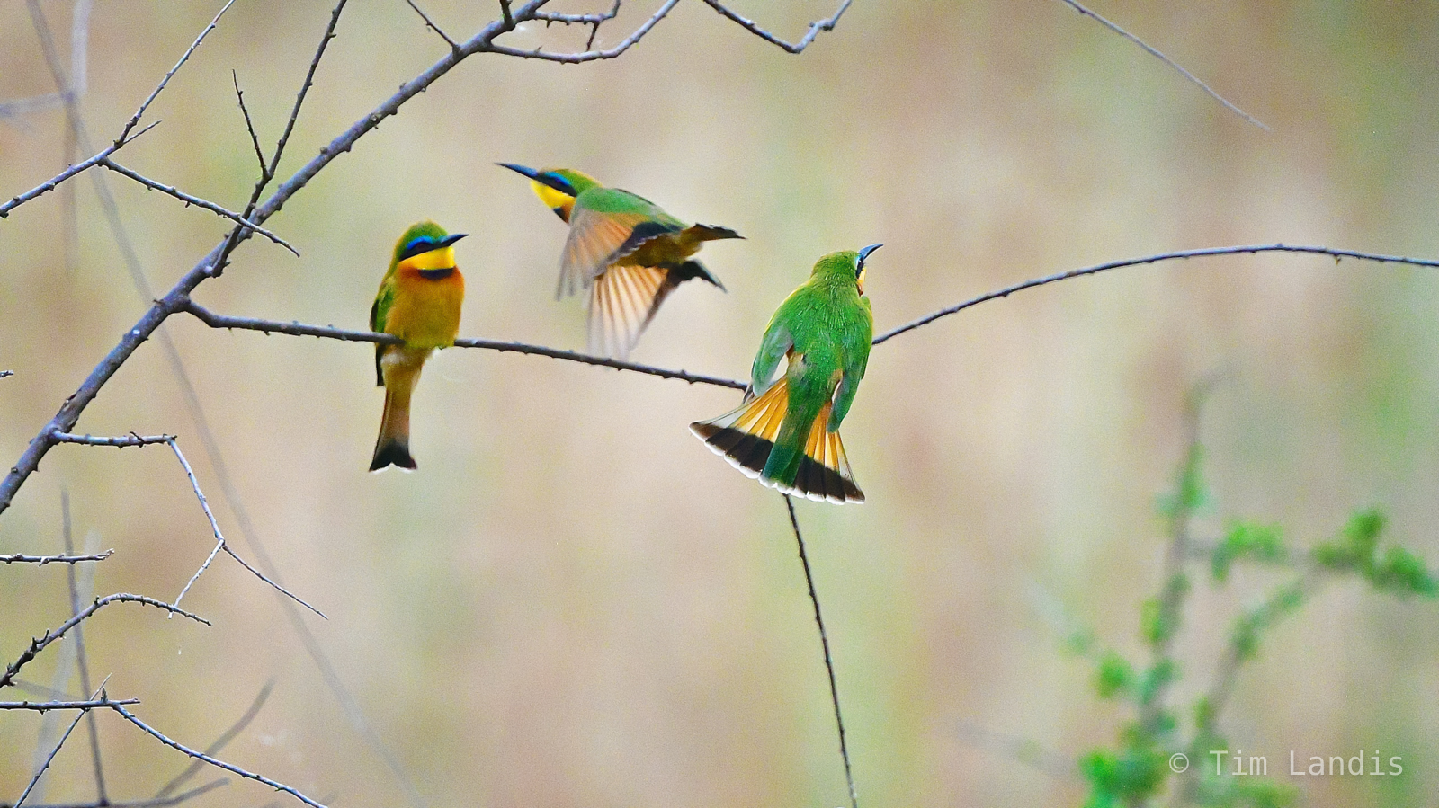 A sitting, a fly by bee eater, a landing, three bee eaters, photo