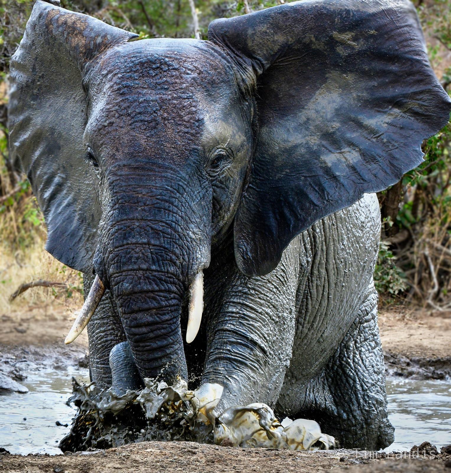 Mudbath, elephant in mud bath, splash, photo