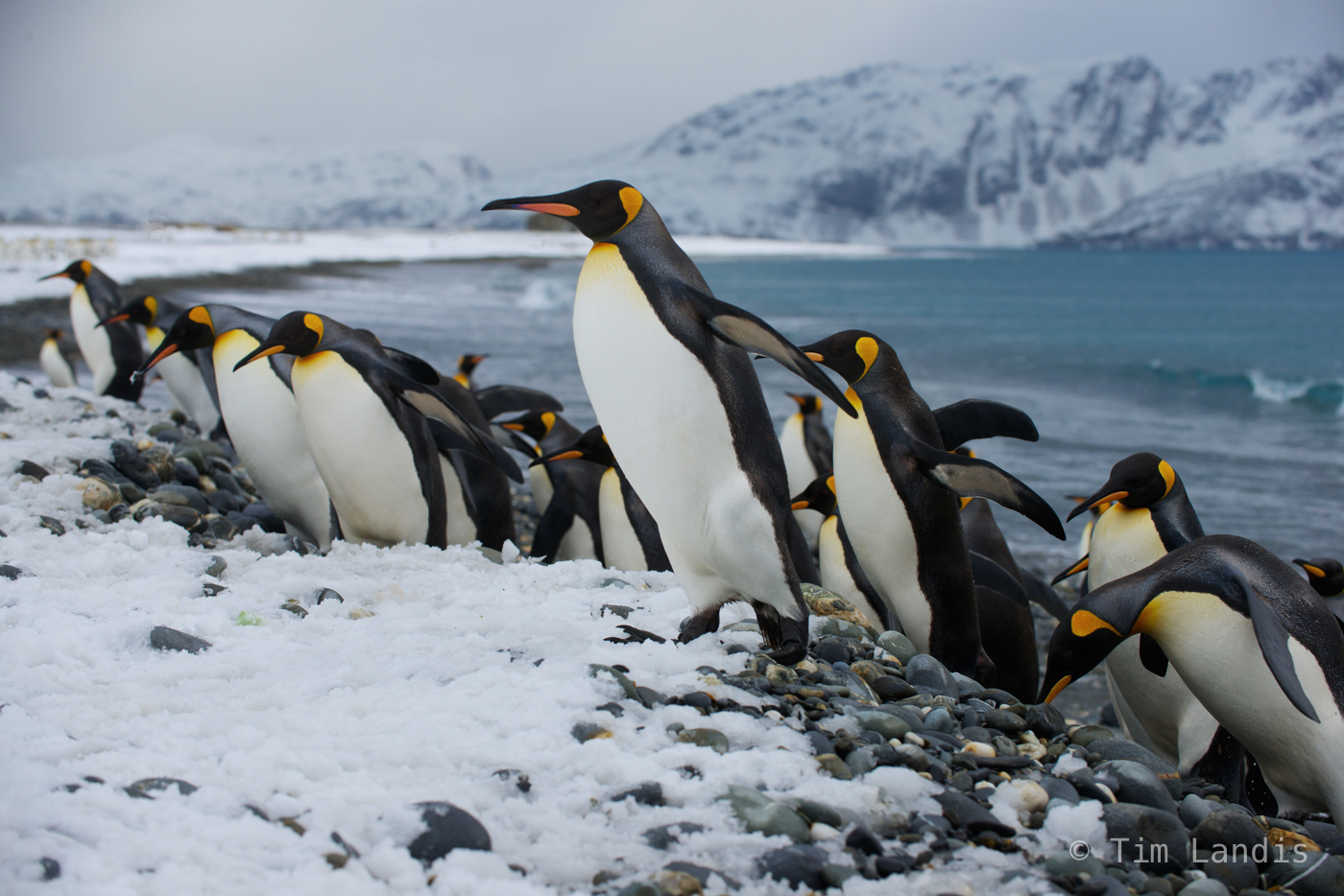 King penguins, determination, penguins activities, penguins emerging from the sea, south georgia islands, teamwork, photo