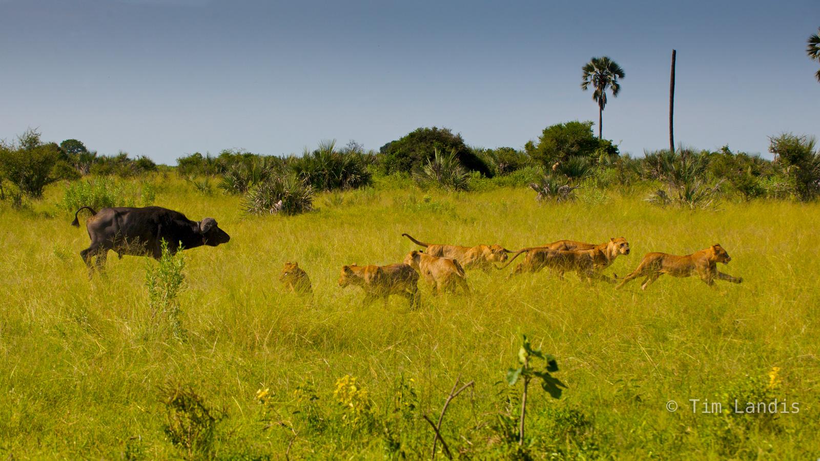 buffalo charge, , photo