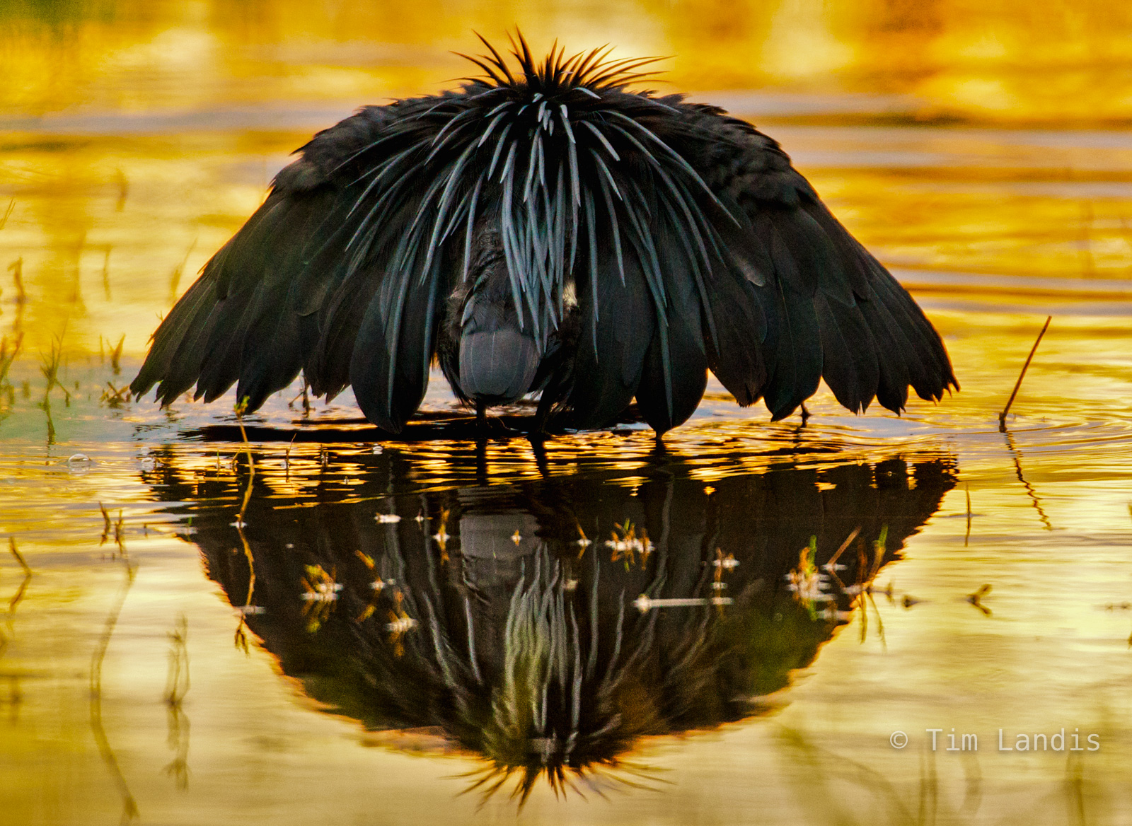 Canopy feeder, the black heron, rushes through the shallows, pops into the shape of a black umbrella which freezes the fish...