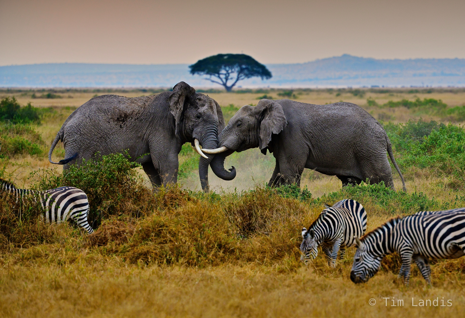 Battling elephants, fighting elephants with zebra grazing., photo