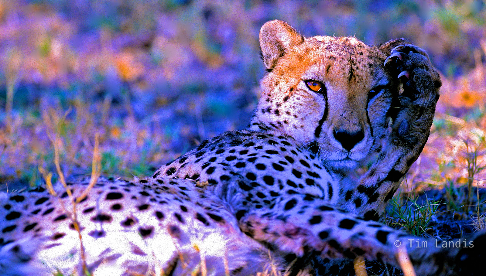 Cheetah planning his lunch, photo