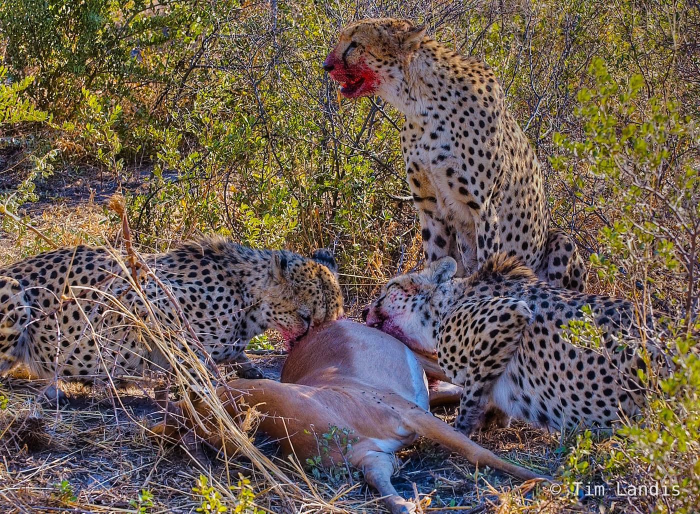 cheetahs feeding, photo