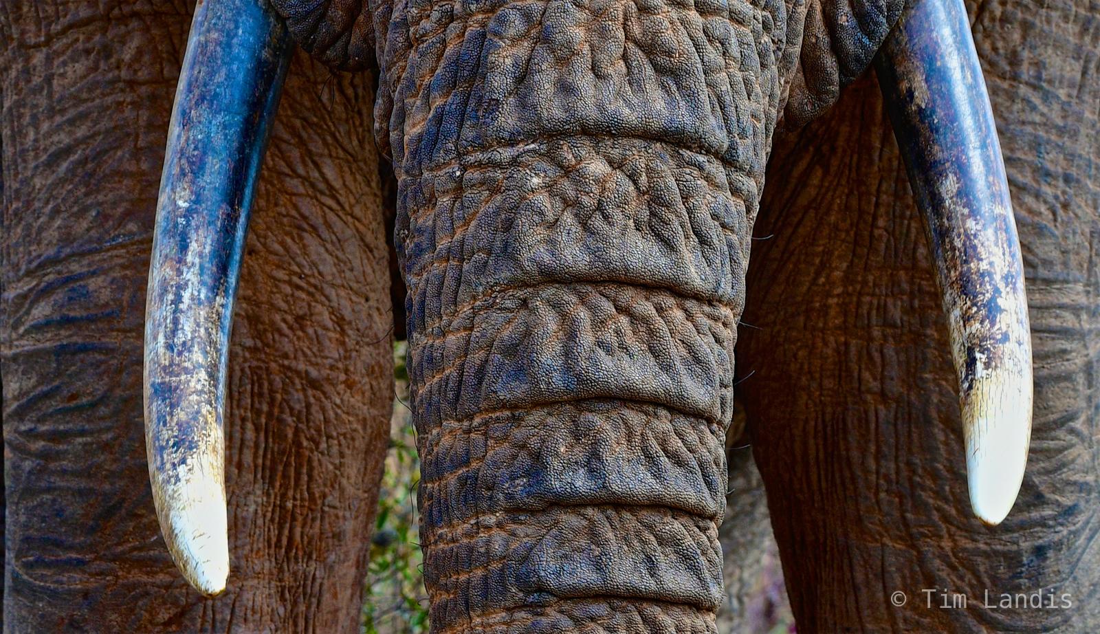 elephant close up, trunk and tusks, wrinkles, photo