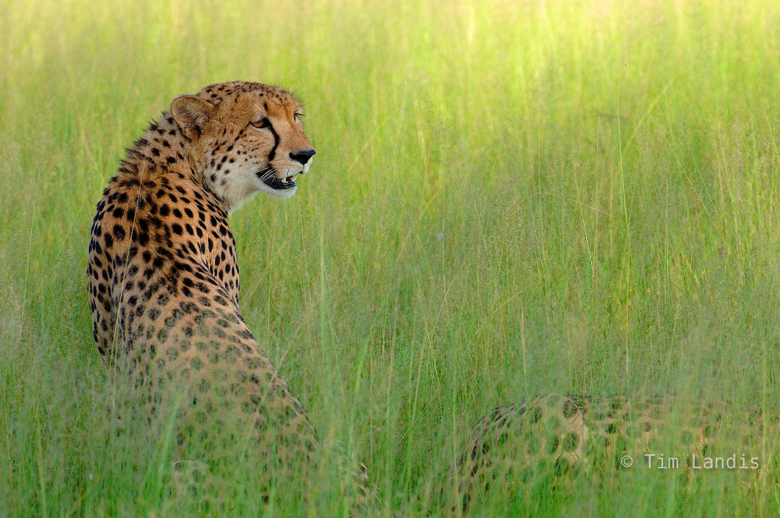 Botswanna, big cats, brothers, cheetah, exotic cats, hunting, two brothers, worlds fastest cats, photo