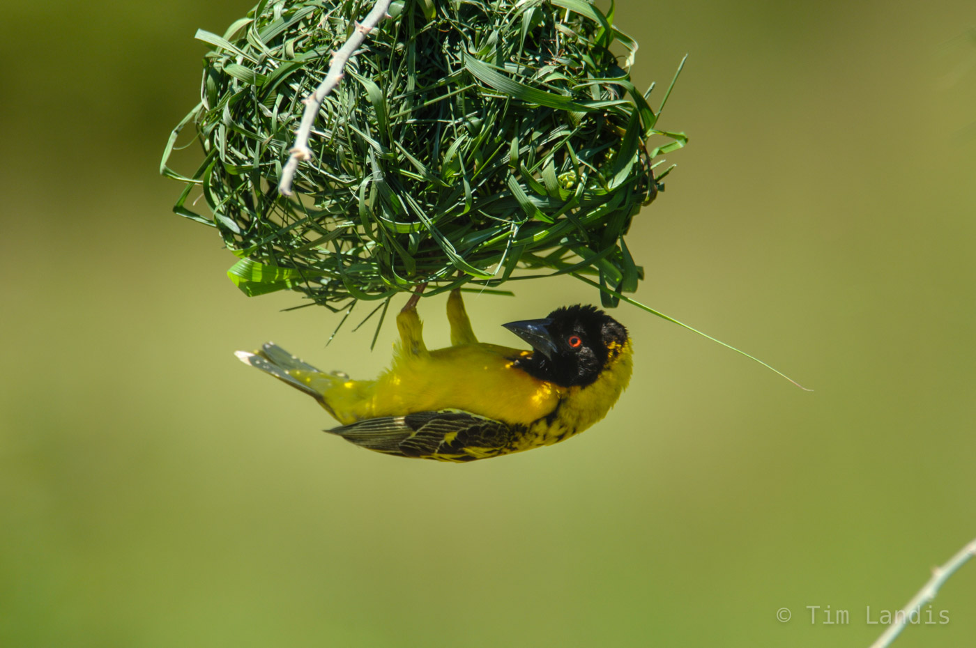 Weaver is building a nest for a mate.