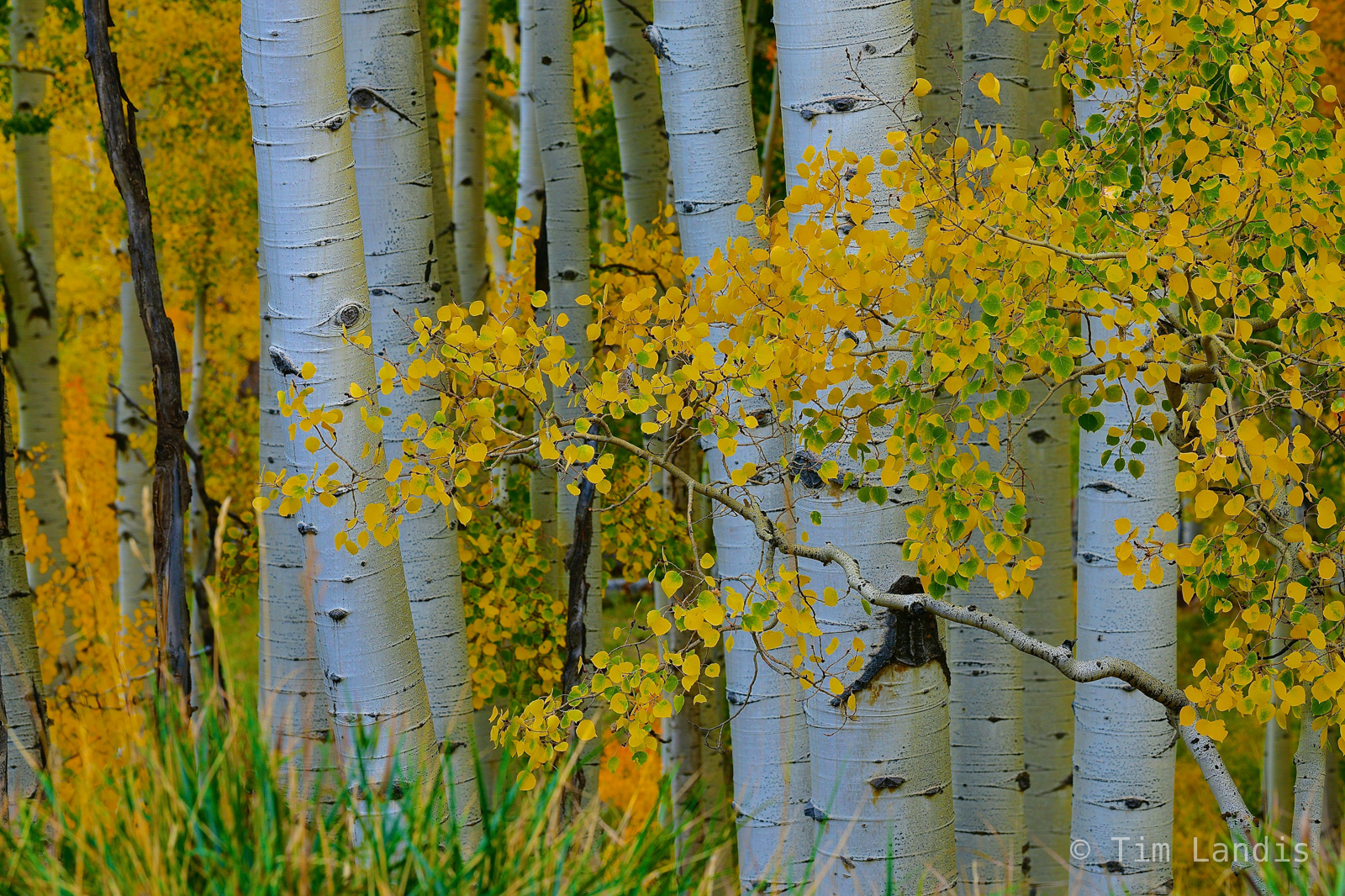Aspen trunks with fall folliage, photo