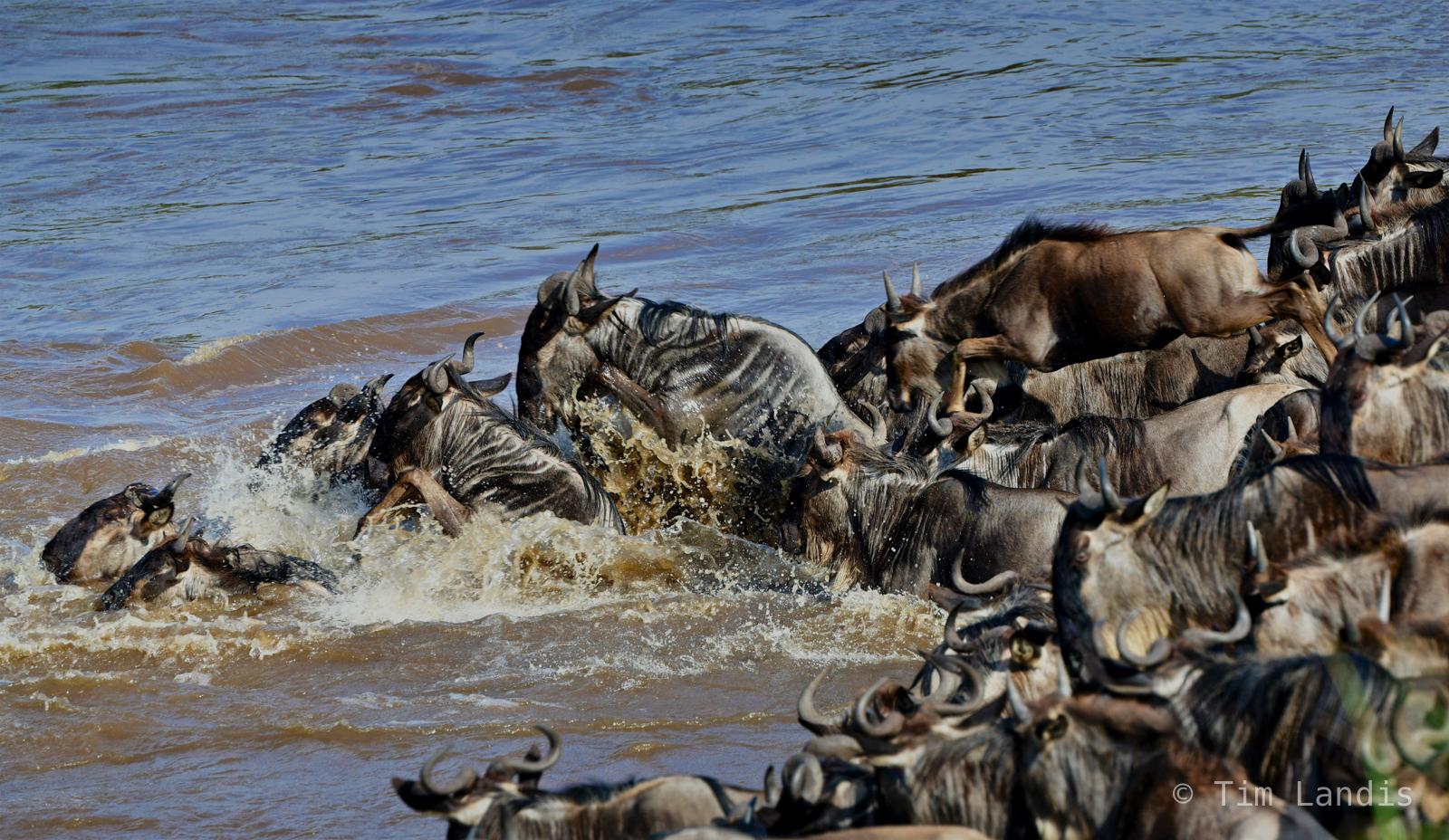 Leaping gnus, leaping wildebeests, splashing gnus, photo