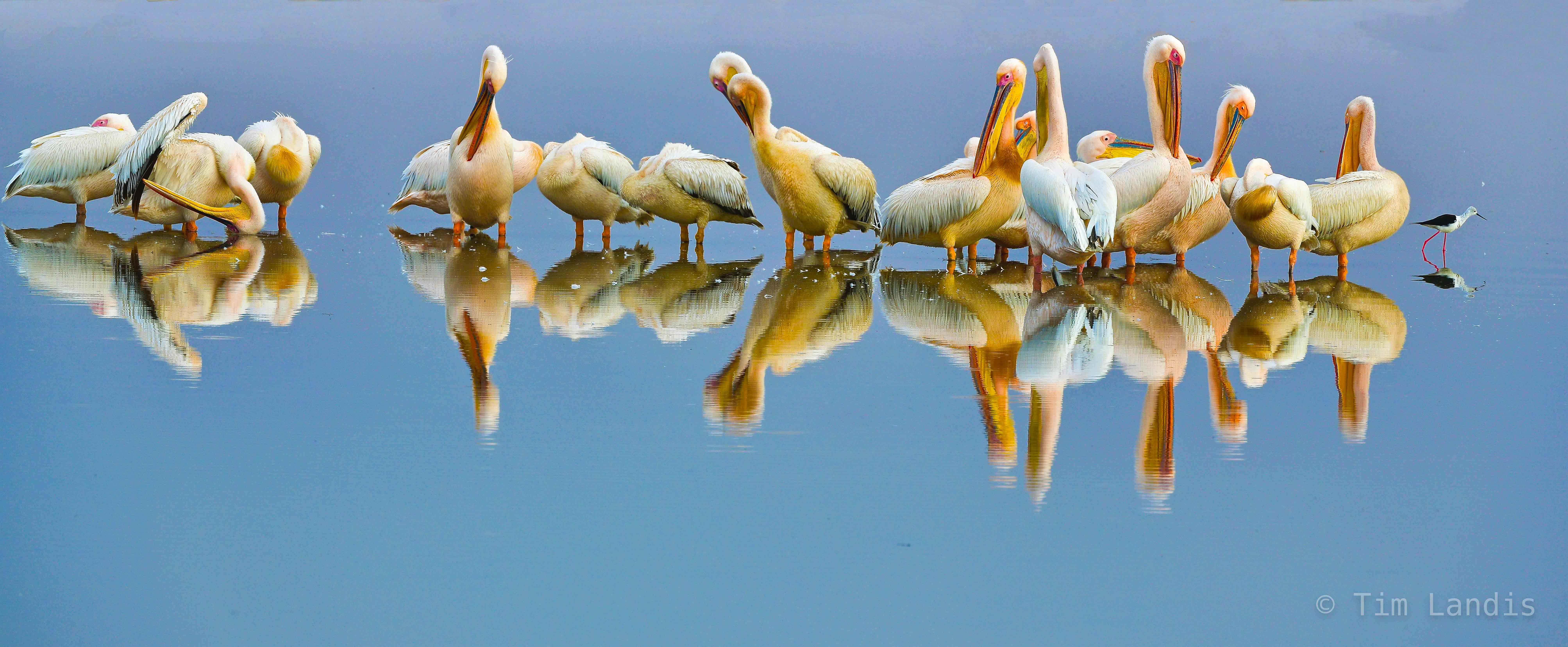 Yellow pelicans awaking, pelicans on a sea of glass, perfect reflections, photo
