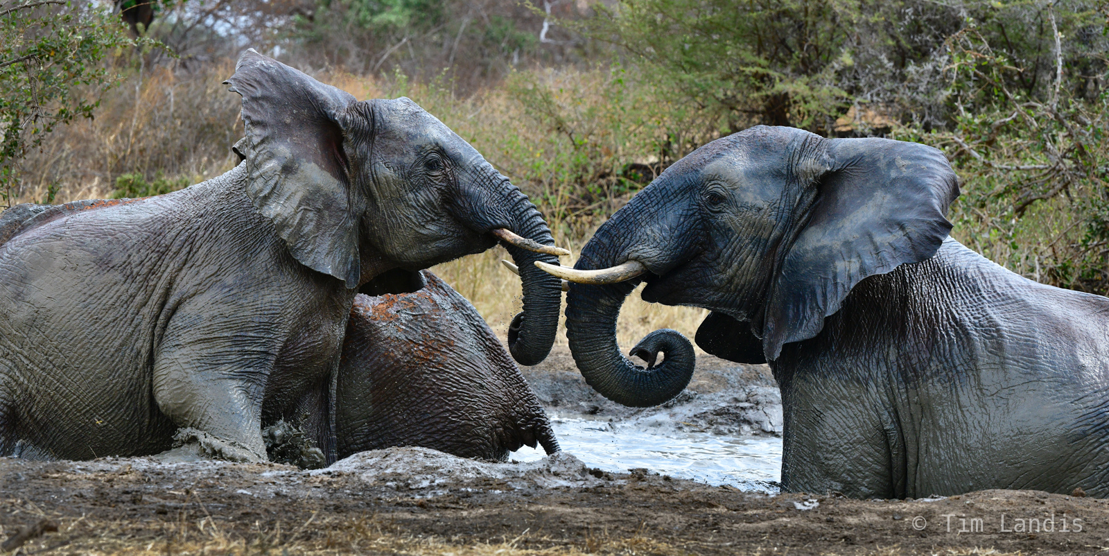 Two elephants facing off, duel, photo