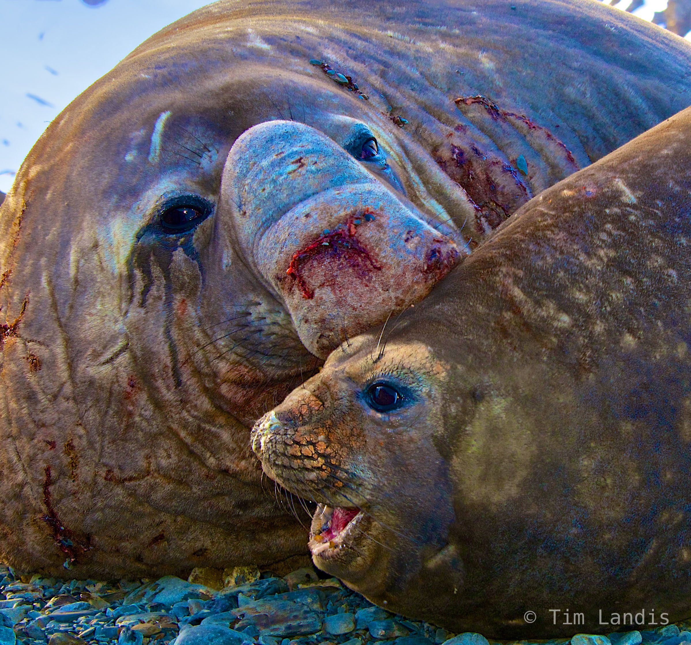 S georgia Island, affection, alone at last, dating, love, mating rituals, pairing, pride, southern elephant seals, photo
