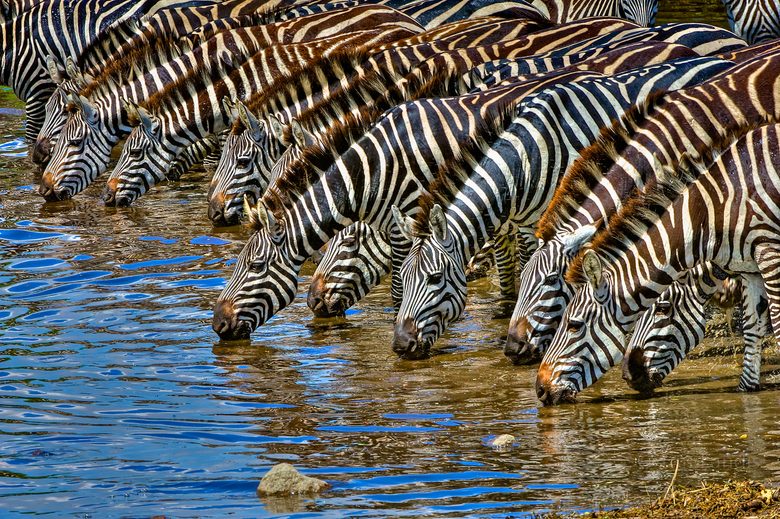 Zebra, Zebras at the river, drinking, , photo