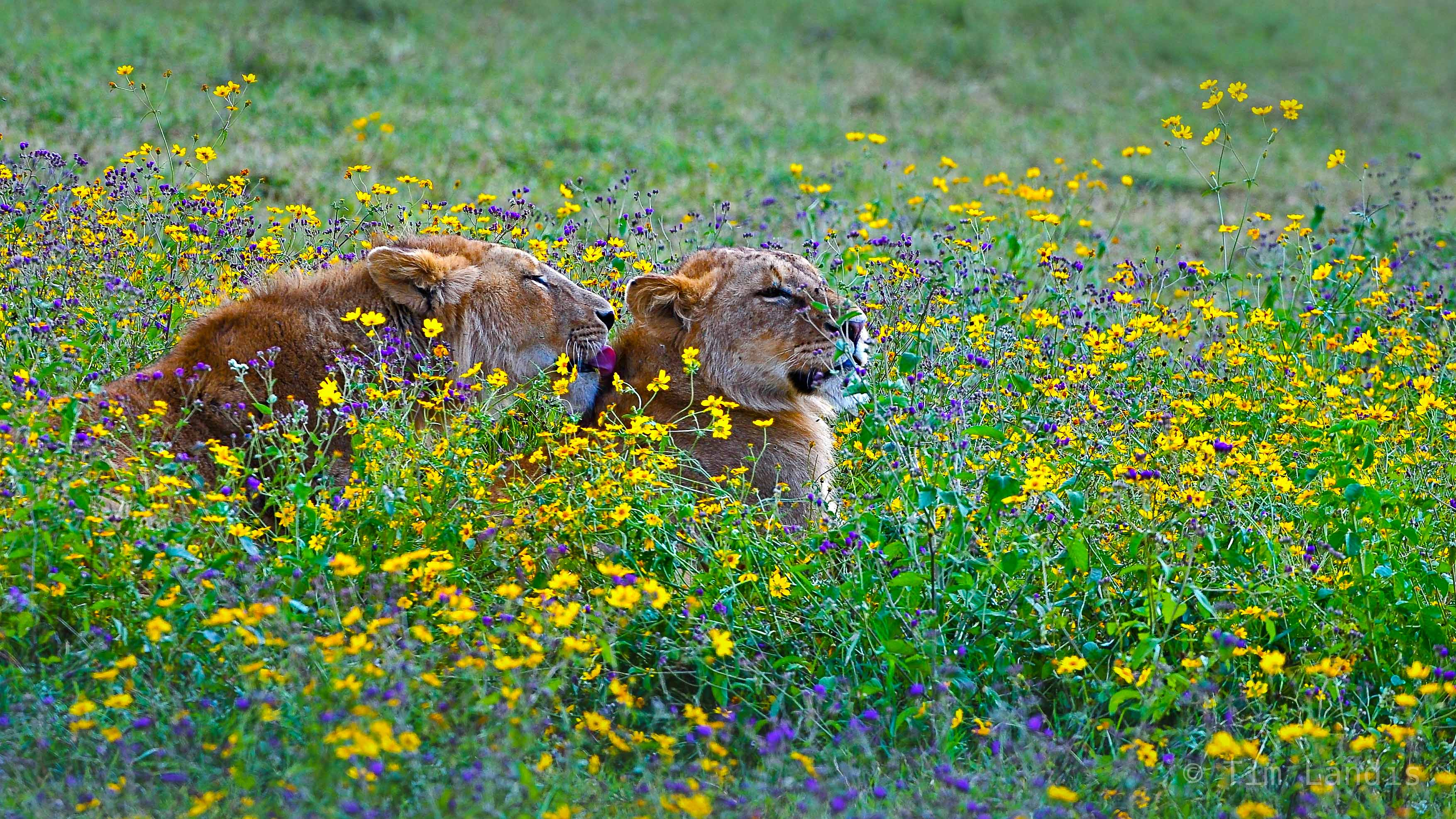 lions sharing the love,, photo
