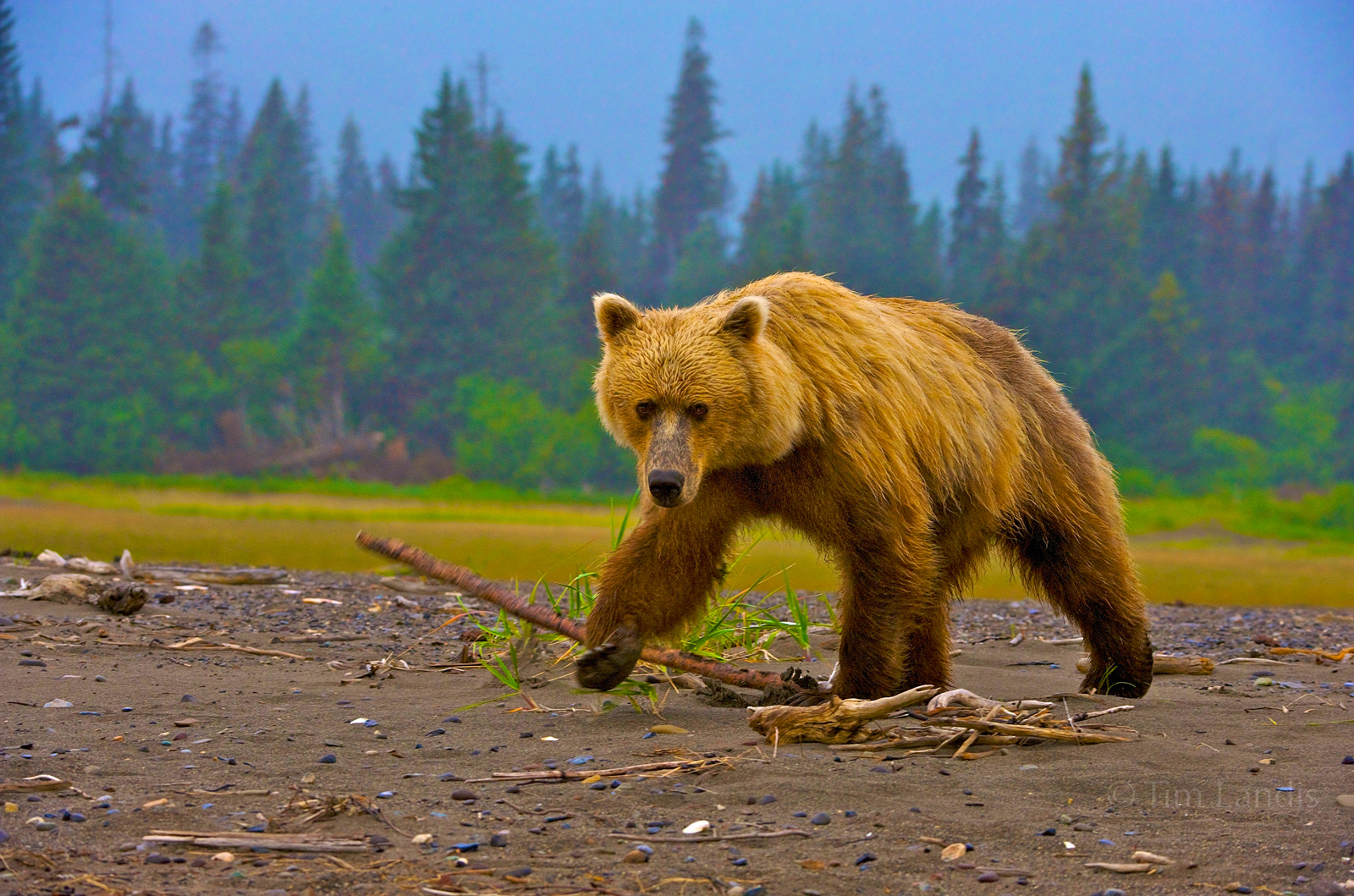 alaska, Lake Clark NP, grizzly bear, photo