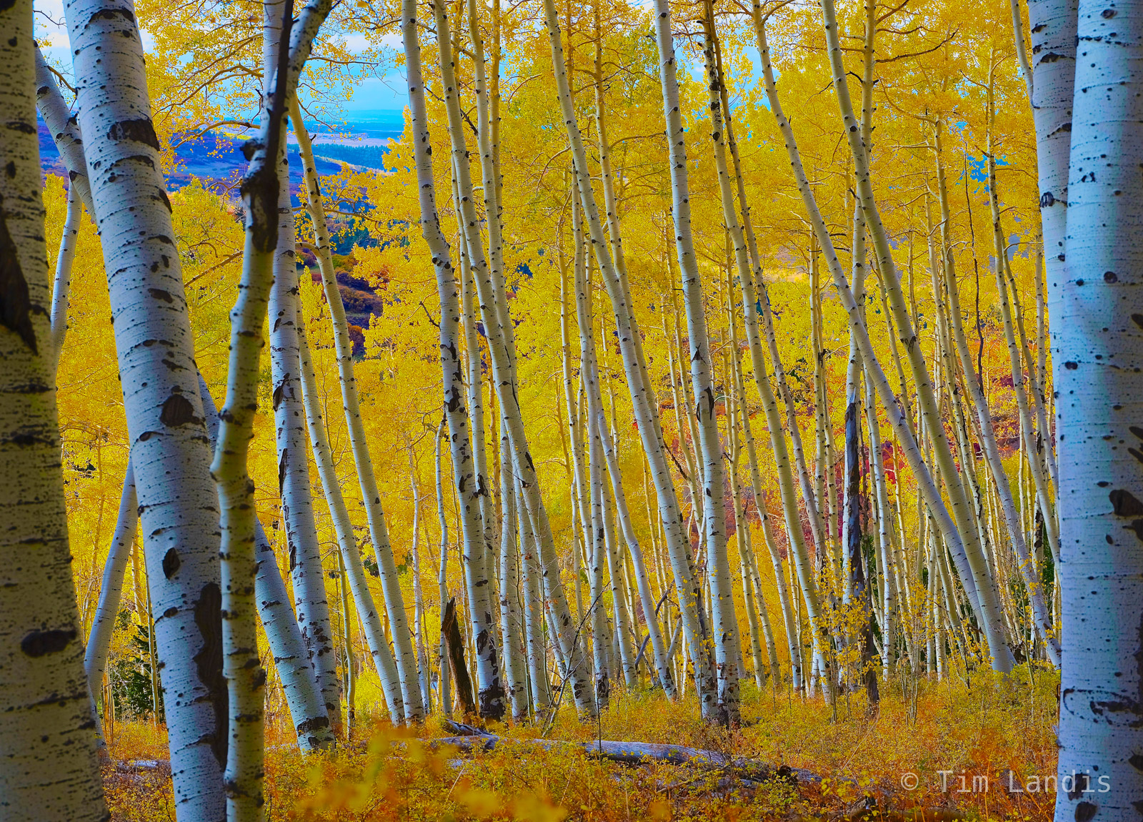 aspens in fall, colorado, forest in peak color, golden leaves, photo