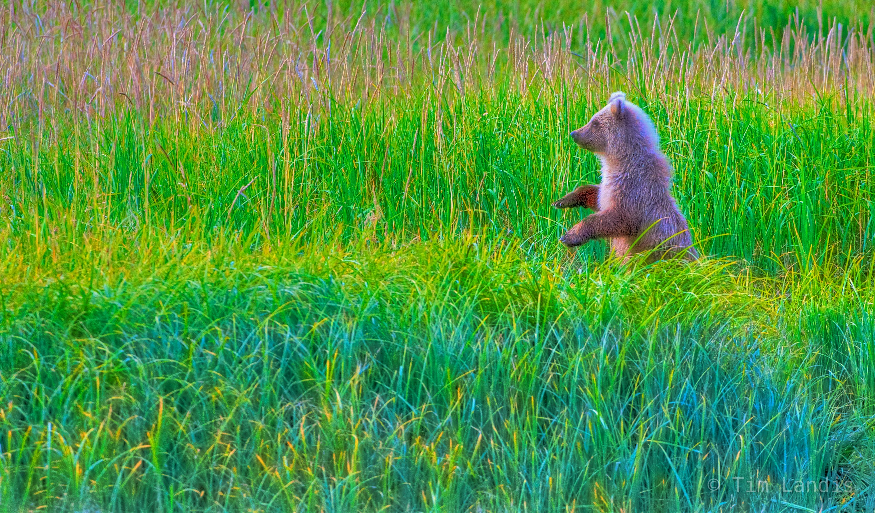 grizzly bear cubs, bear standing, , photo