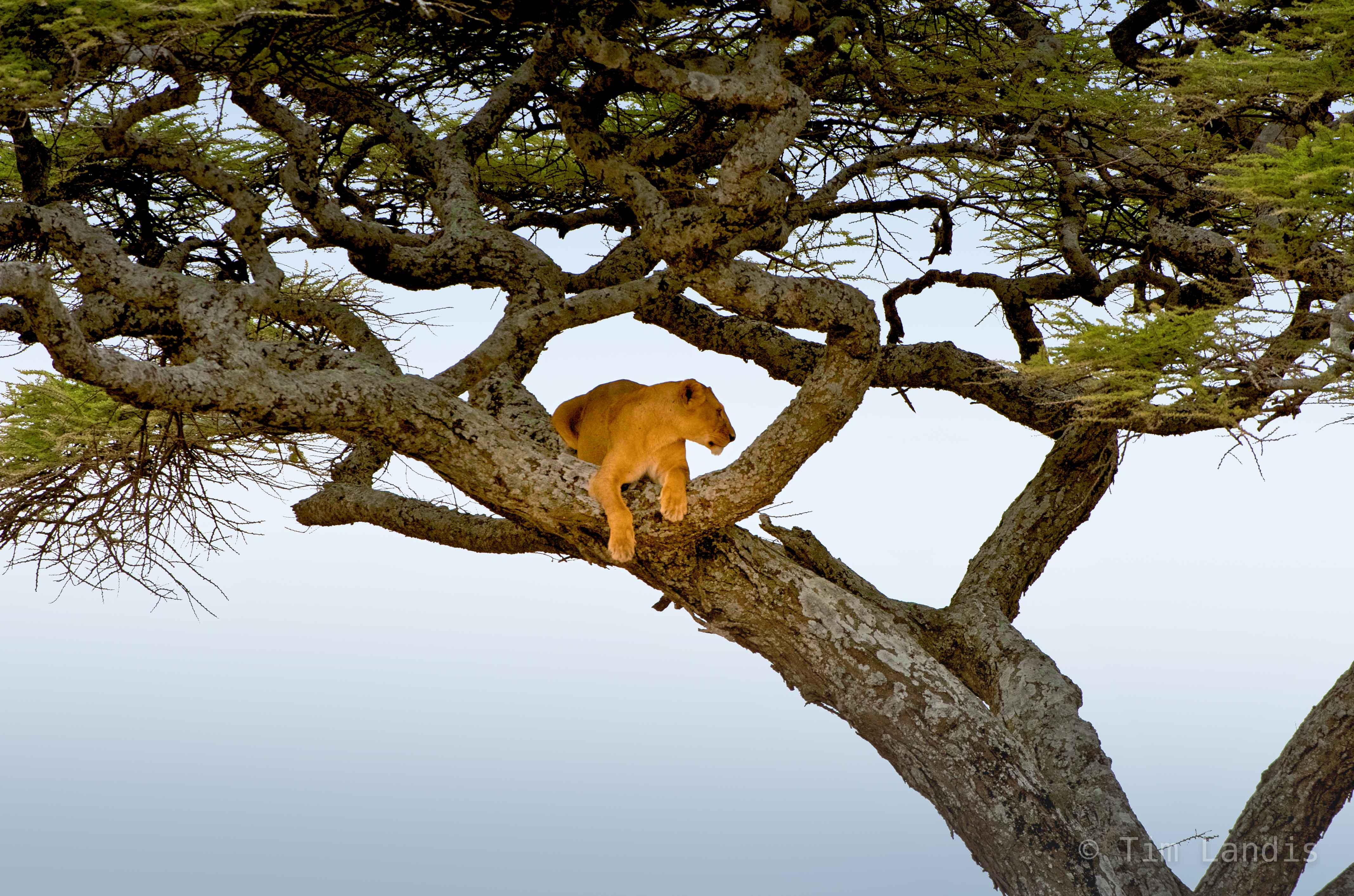 tree climbing lions of Tanzania, photo