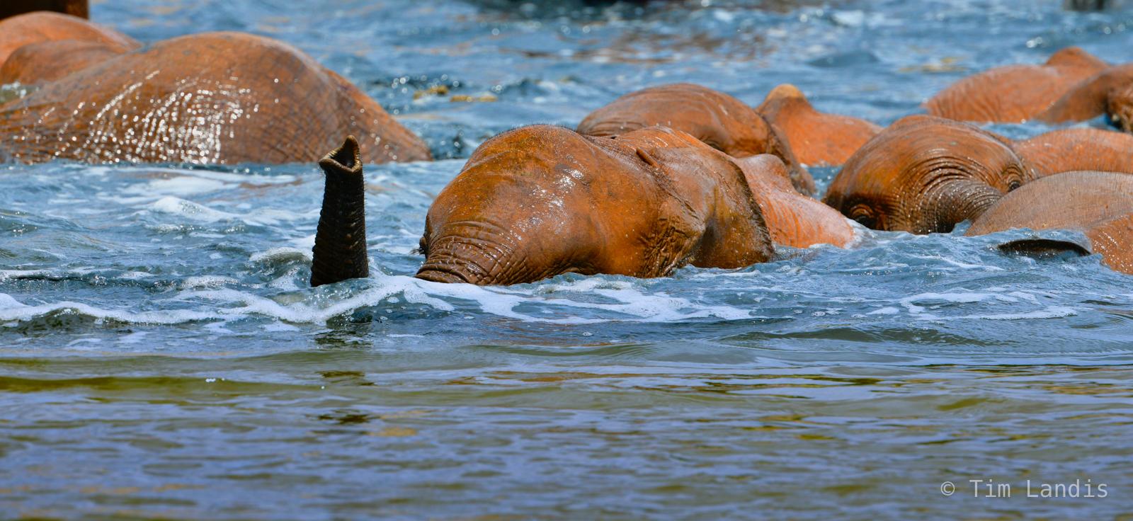 Baby elephants swimming, bathing beauties, elephant scuba, f, ithumba, kenya, periscope up, snorkeling, photo