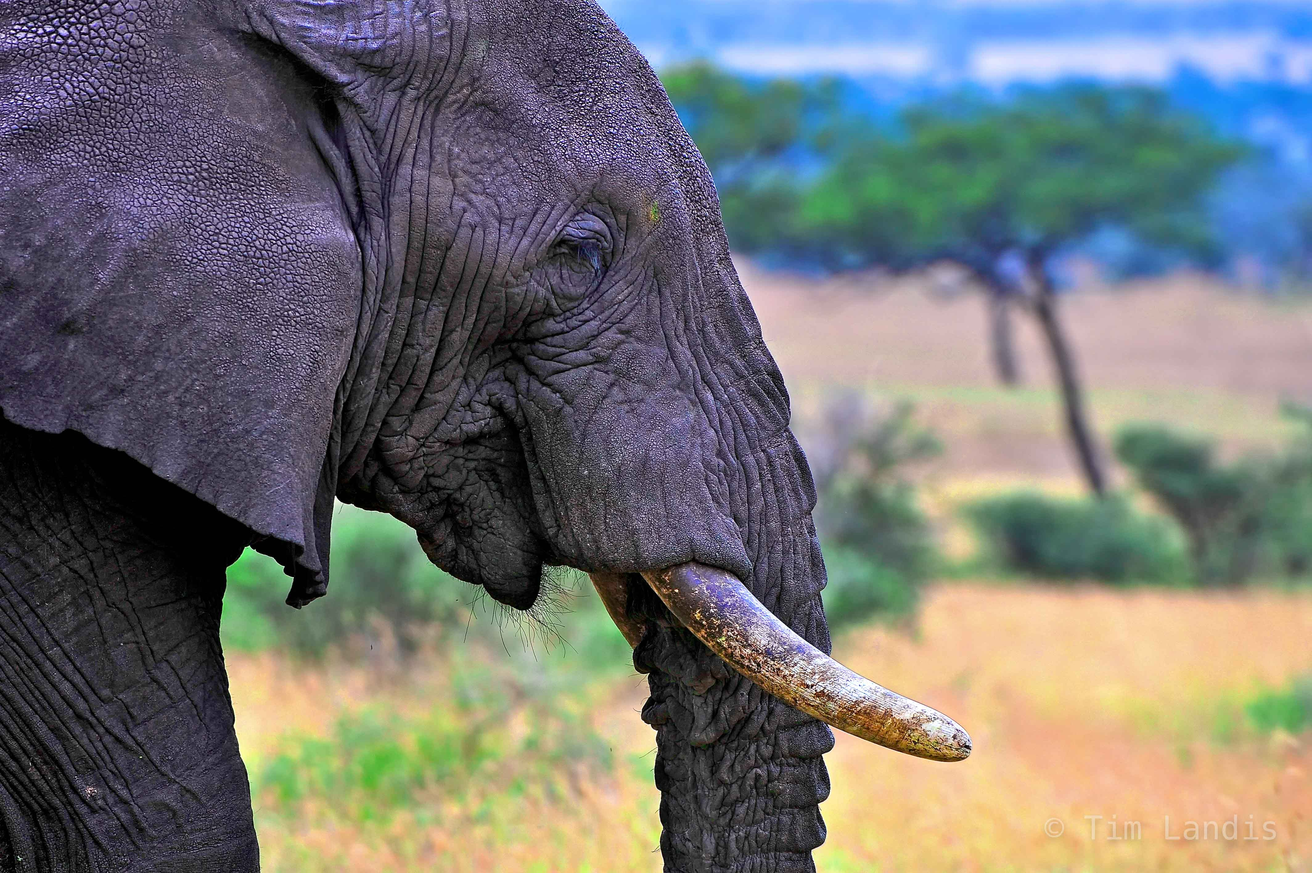 an elephant walks by as if in deep thought, photo