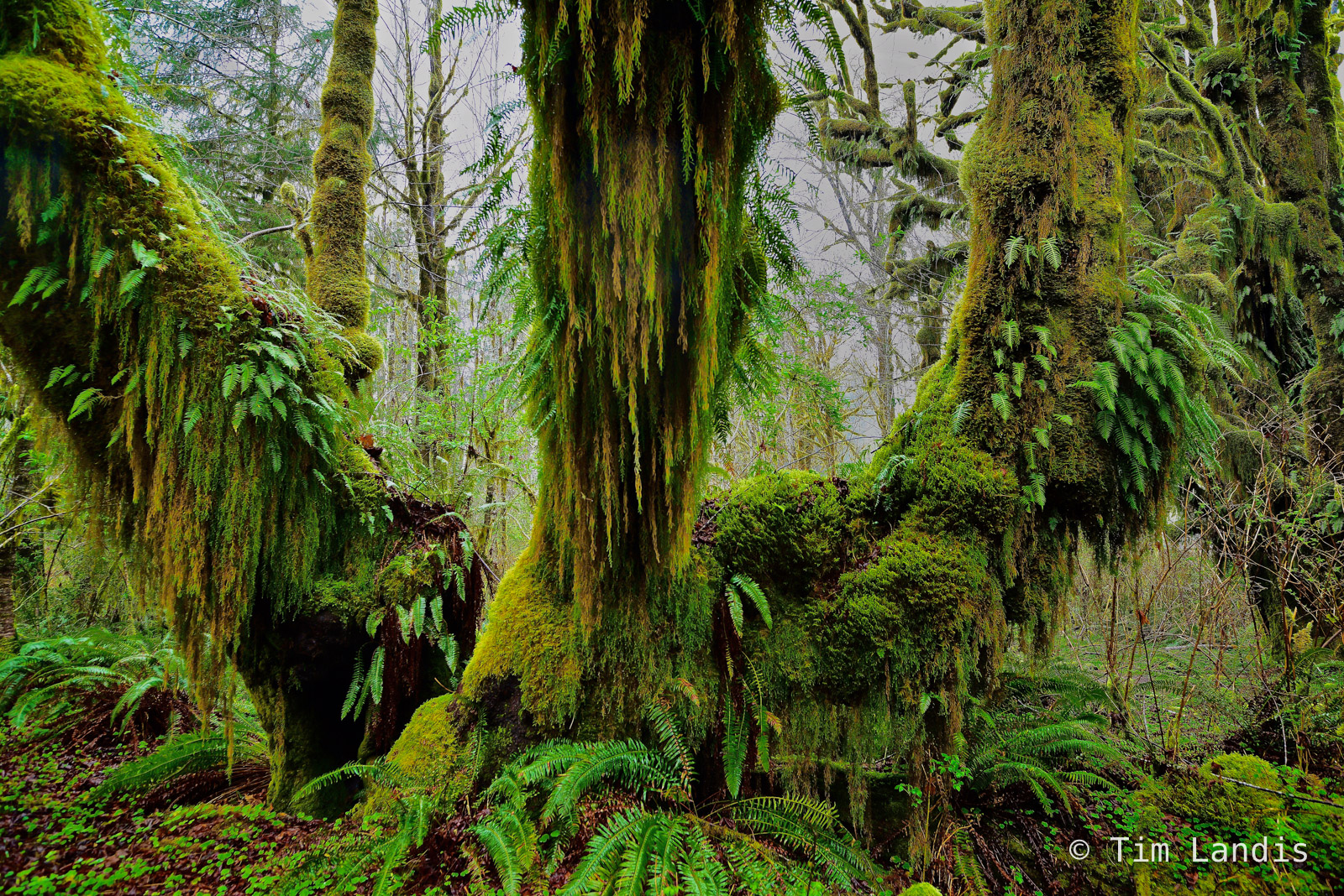 ferns, moss, rainforest, tree covered with moss, trees, photo