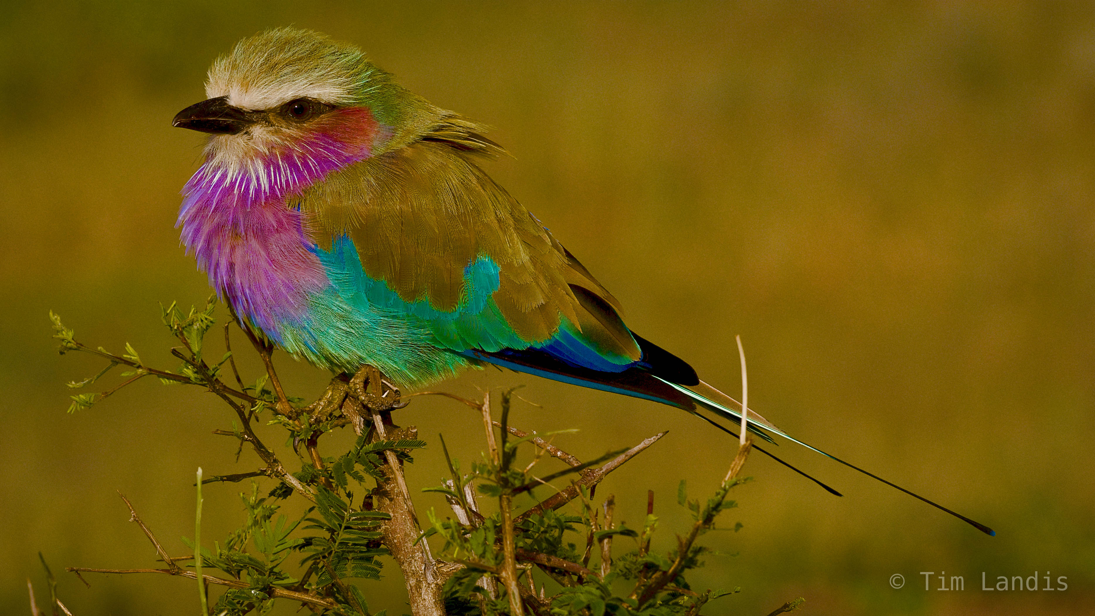 Botswanna, chobe, lilac breasted roller, photo