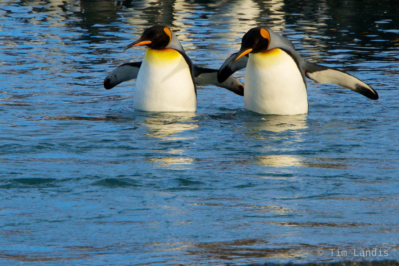 King penguins, companionship, friends, holding flippers, holding hands, lovers, two penguins, photo