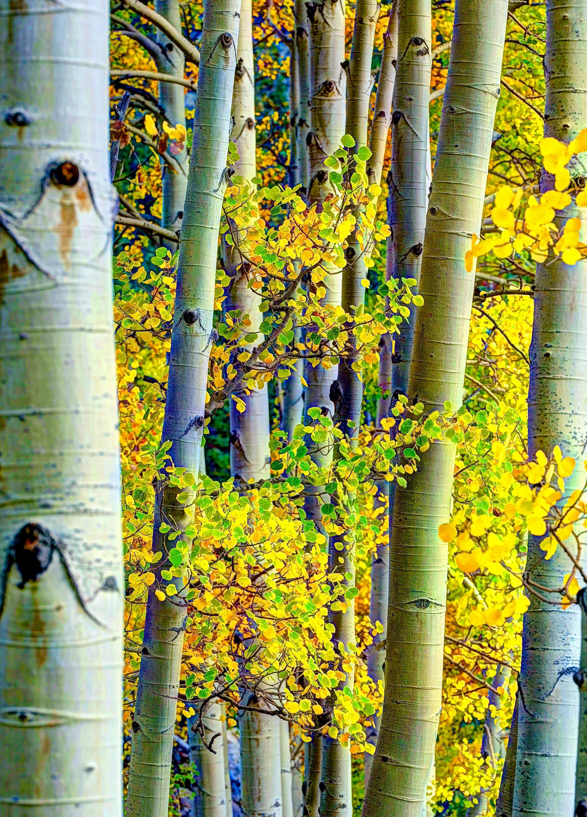 Yellow aspen leaves and trunks, photo