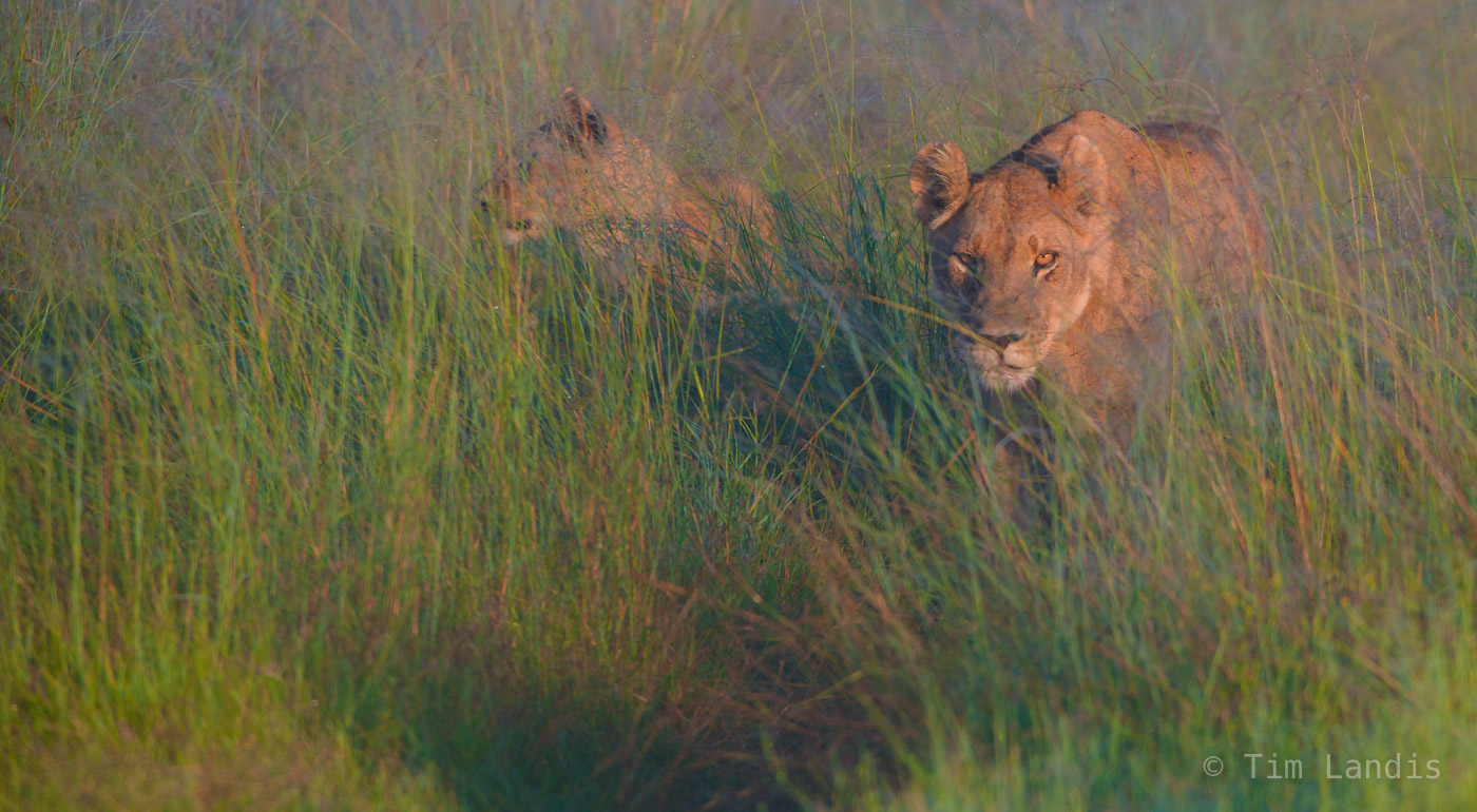 lions hunting early morning.