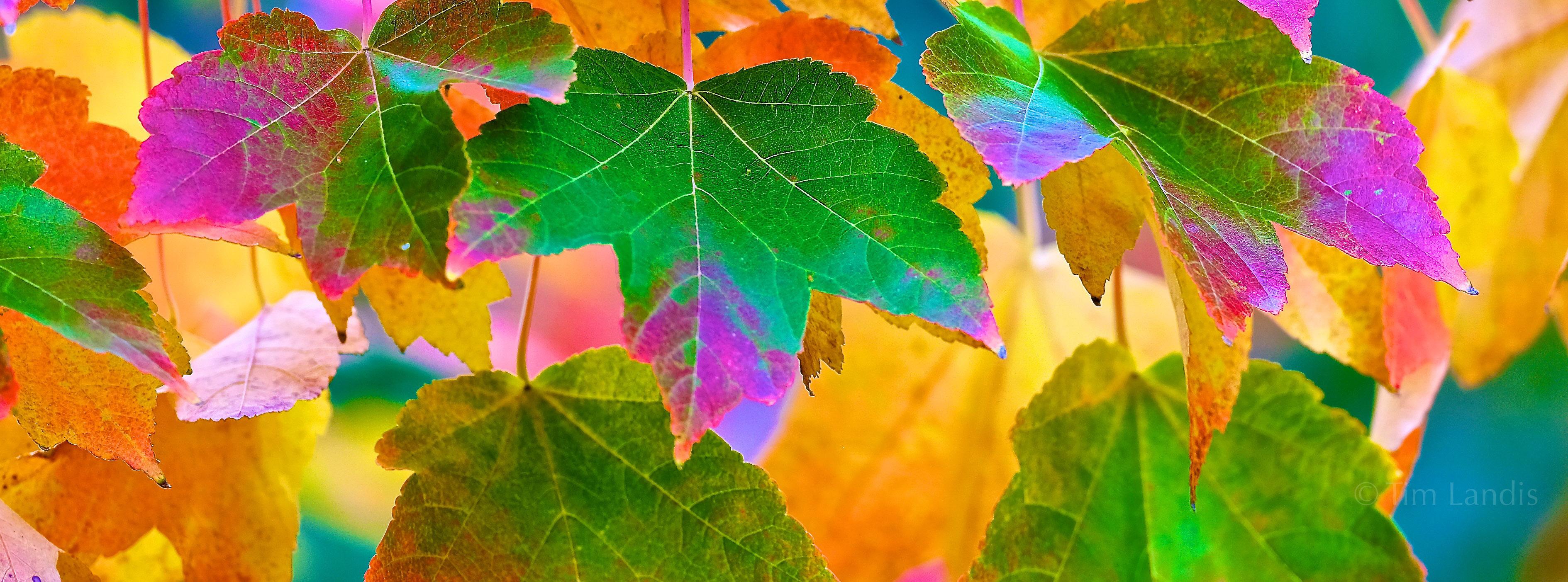 Magic Maple, brilliant Leaves, full spectrum of colors, photo