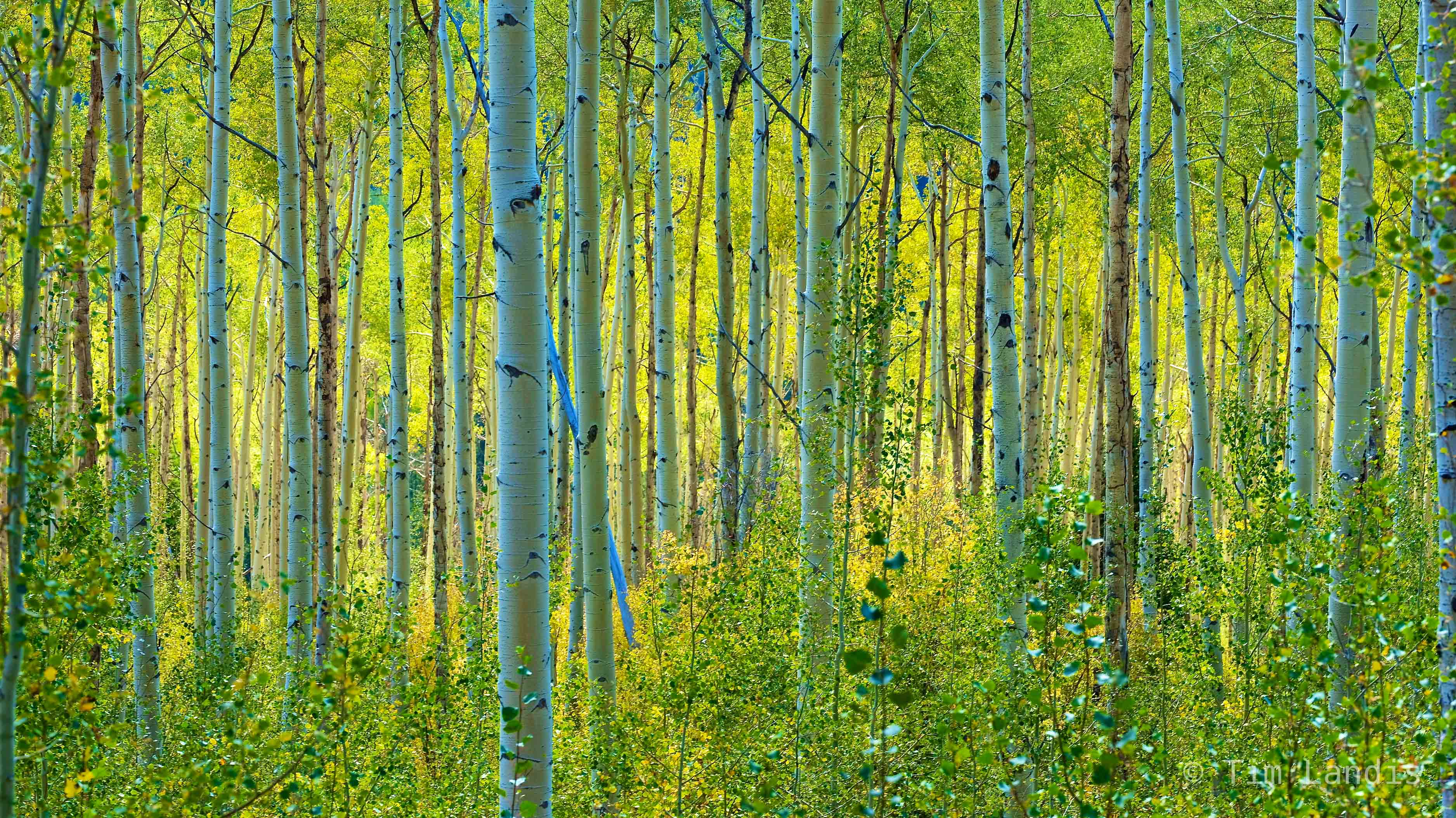 Aspens in early fall, , photo