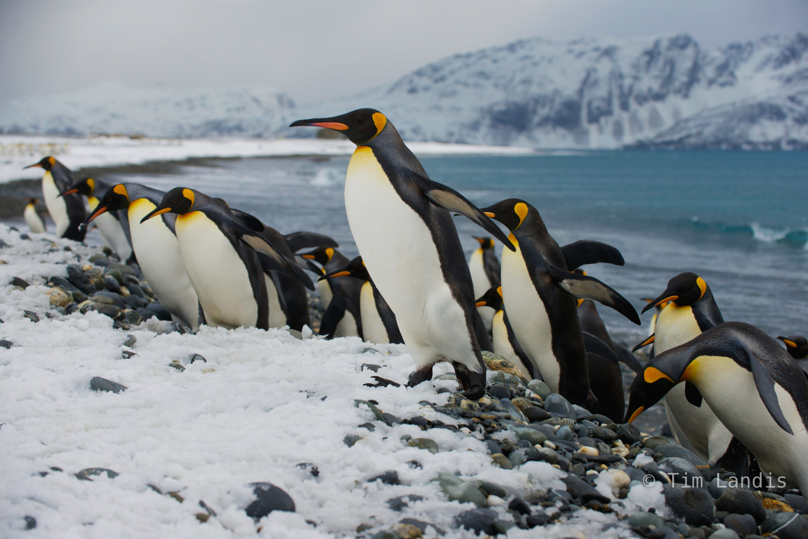 King Penuins, King penguins, coming ashore, leading the charge, photo