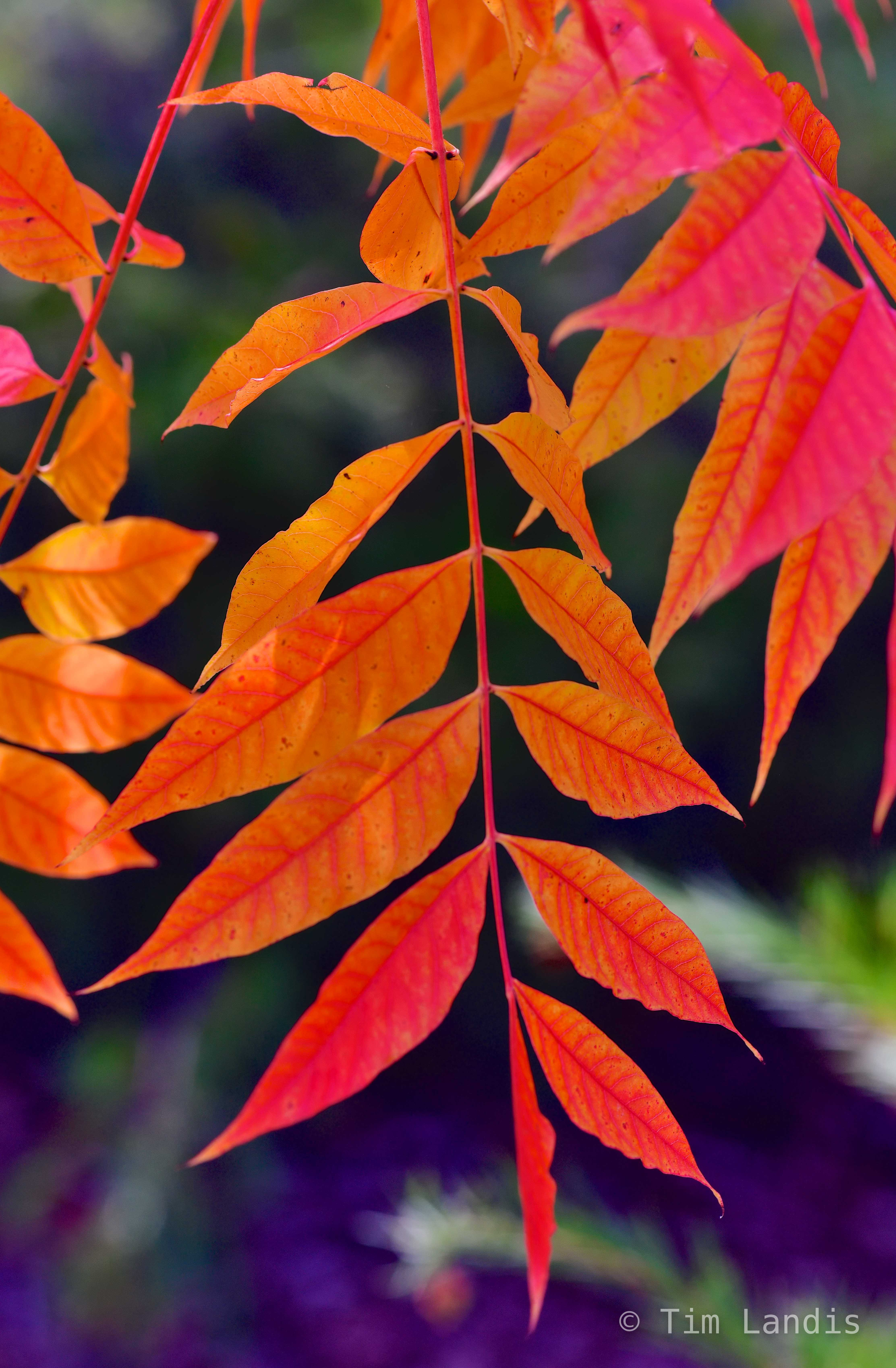 autumn leaves, close up of orange and pink leaves, compound leaves, pistachio leaves, photo