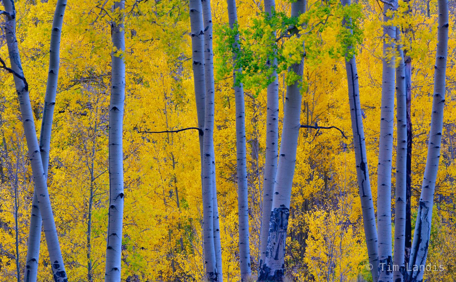 Purple trunks with golden aspens, bare aspens trees, photo