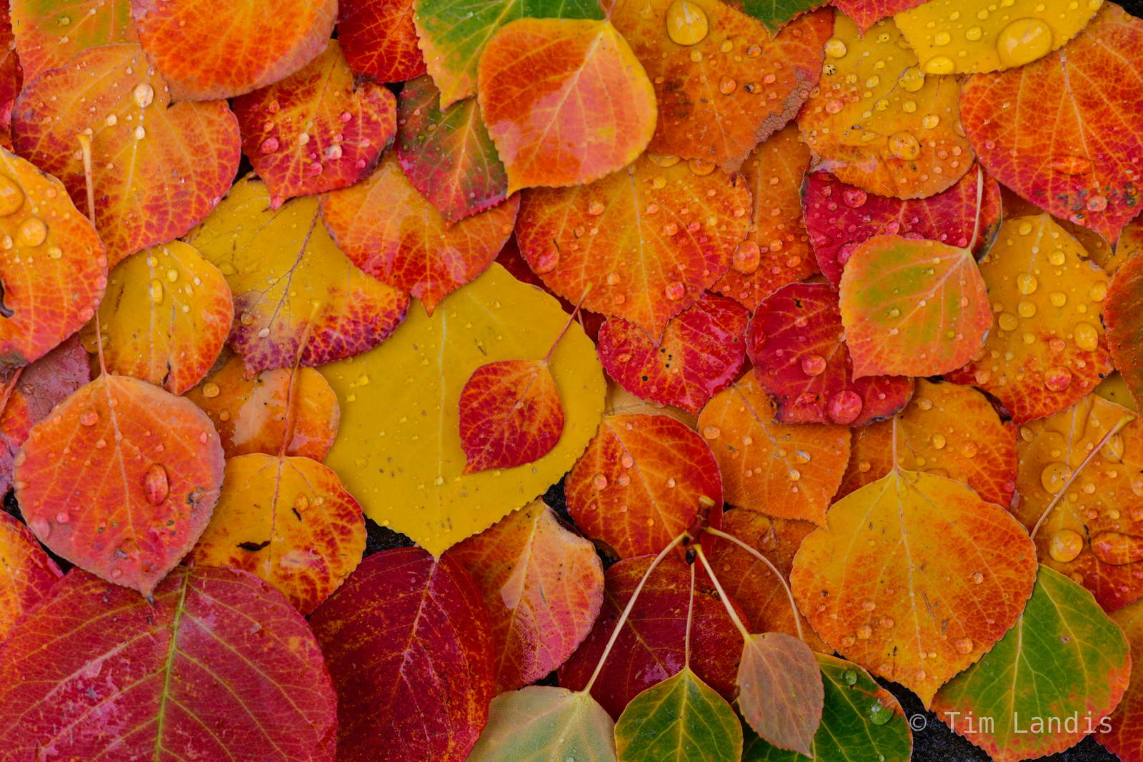 Aspen leaves of many colors, photo