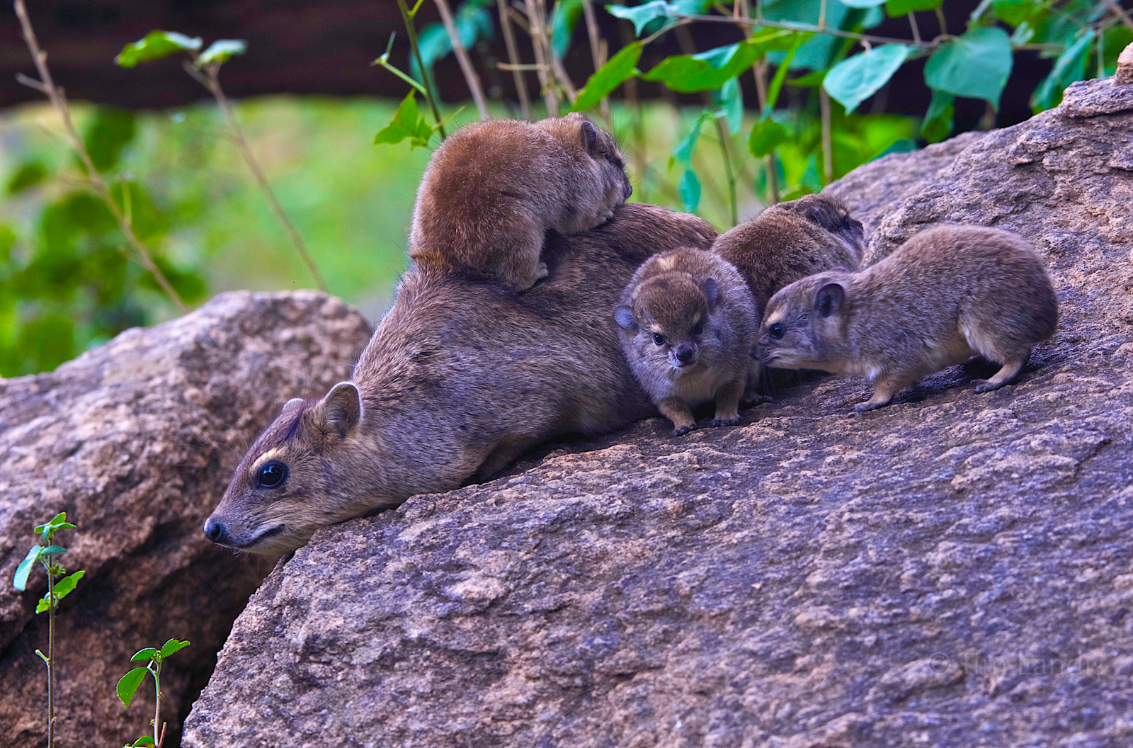 rock hyraxes, Mother rock hyrax with babies, , photo