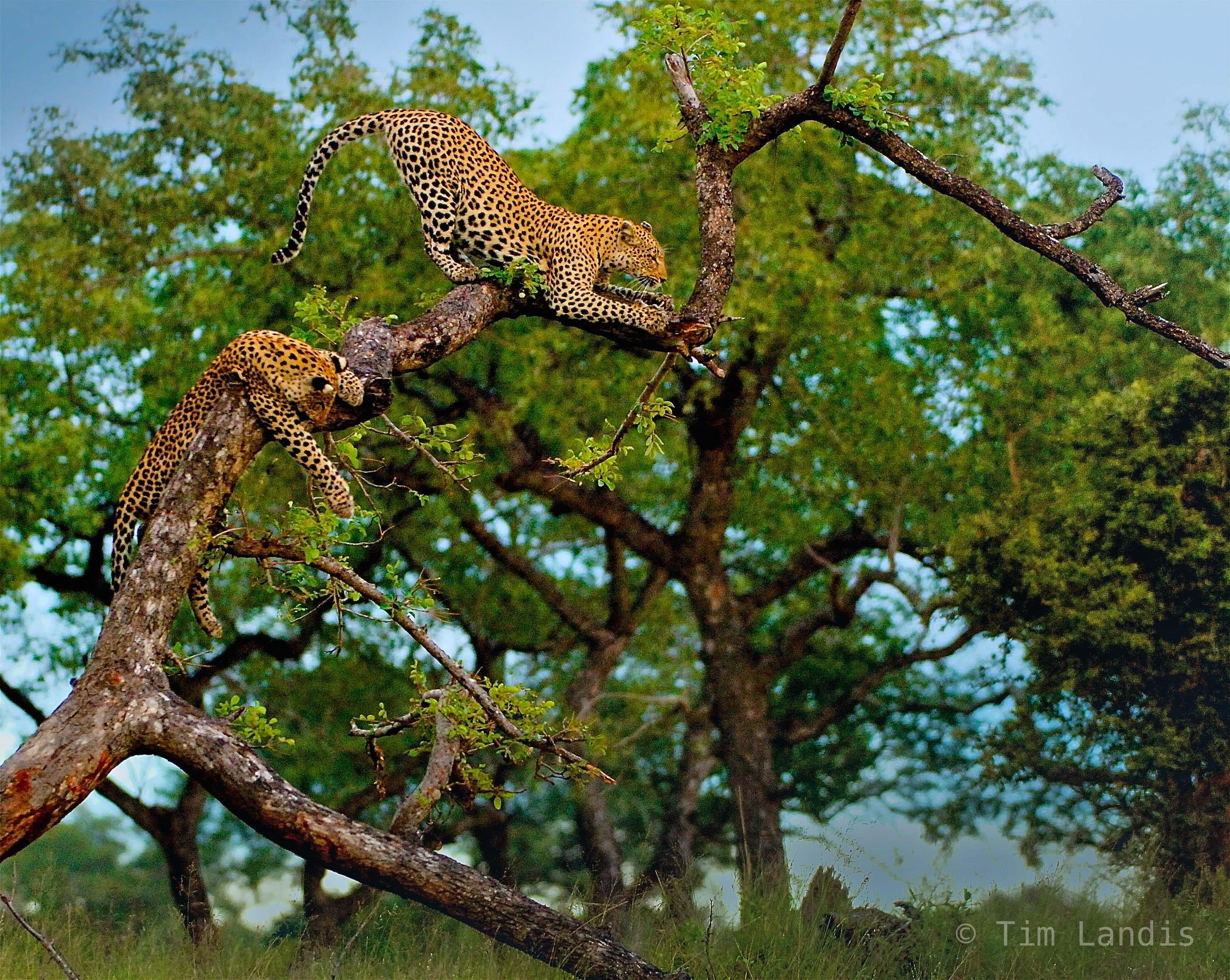 leopard family, photo